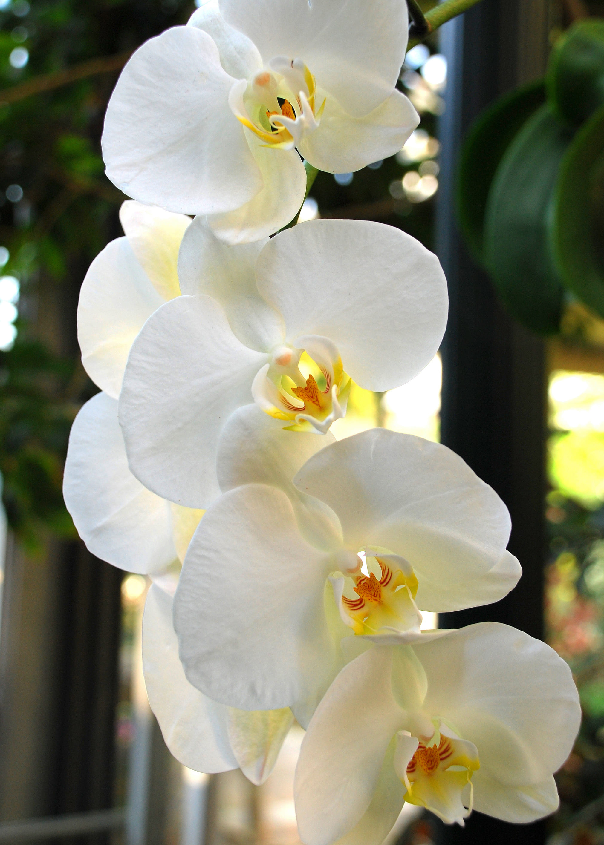orchid-59