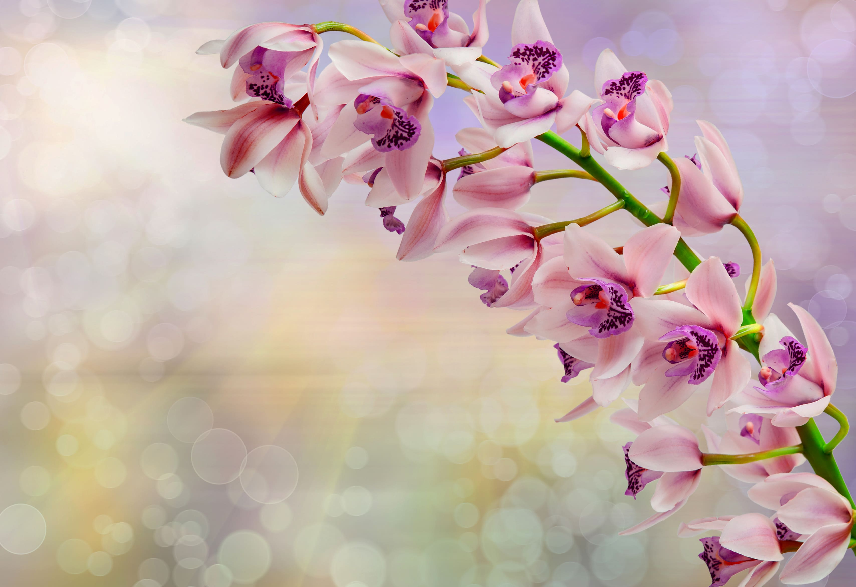 orchid-63
