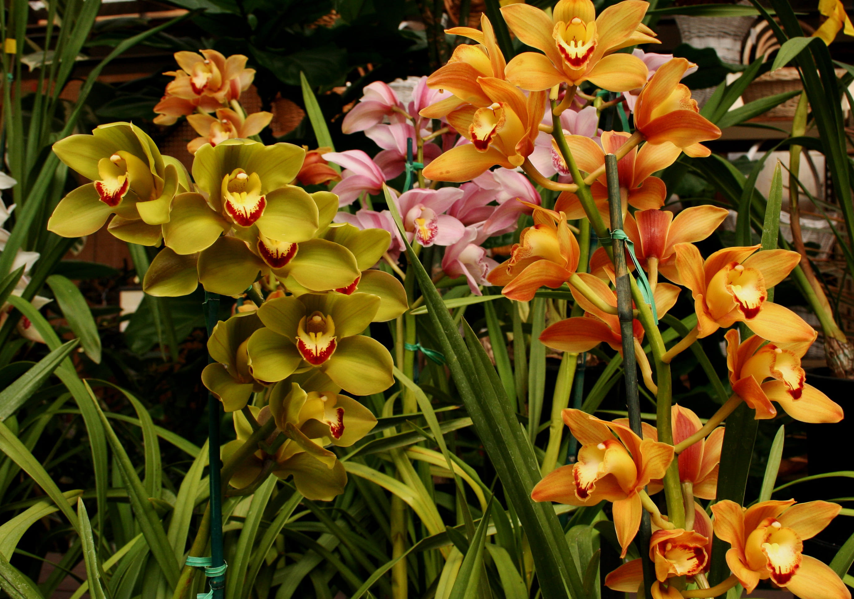 orchid-65