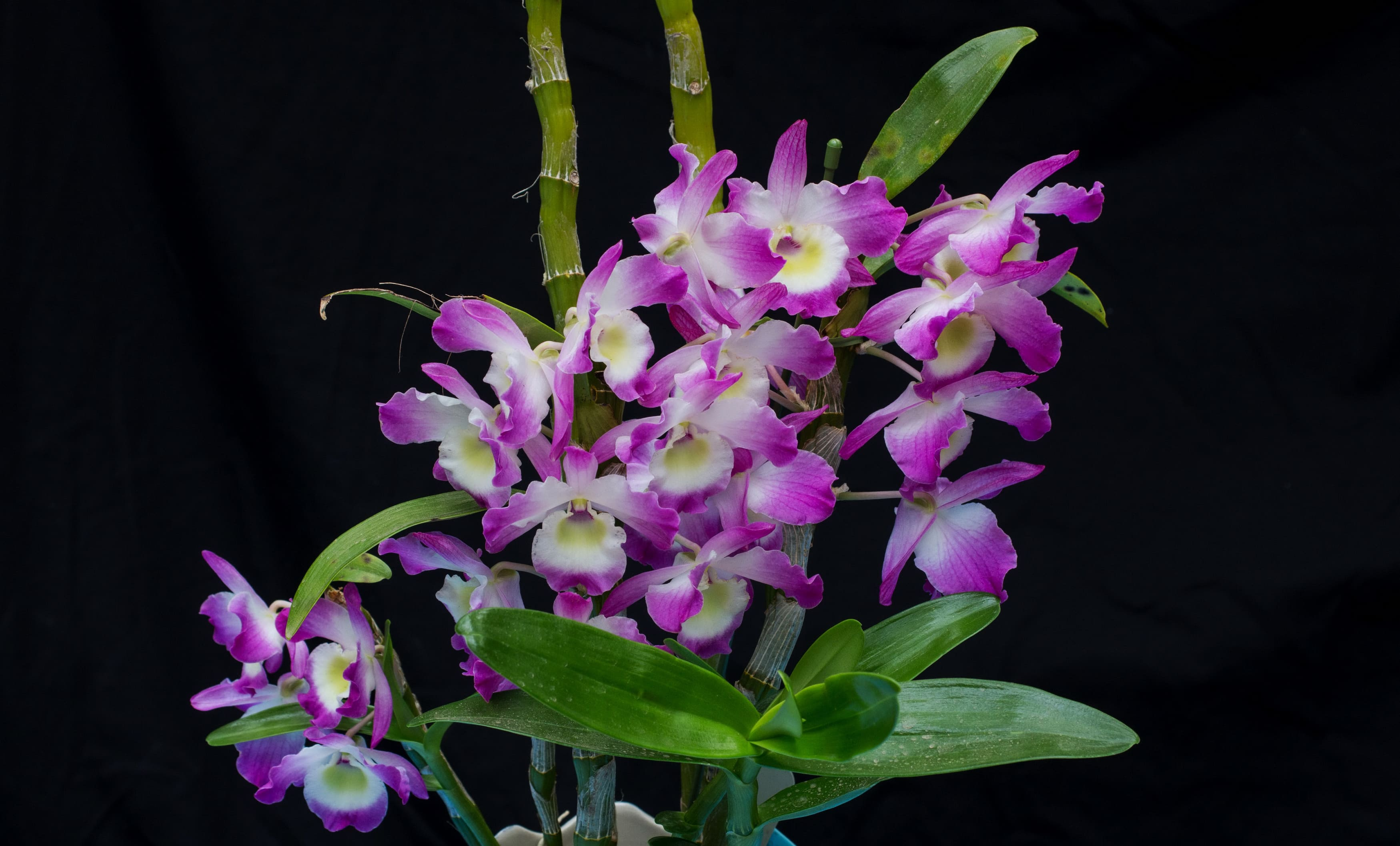 orchid-66