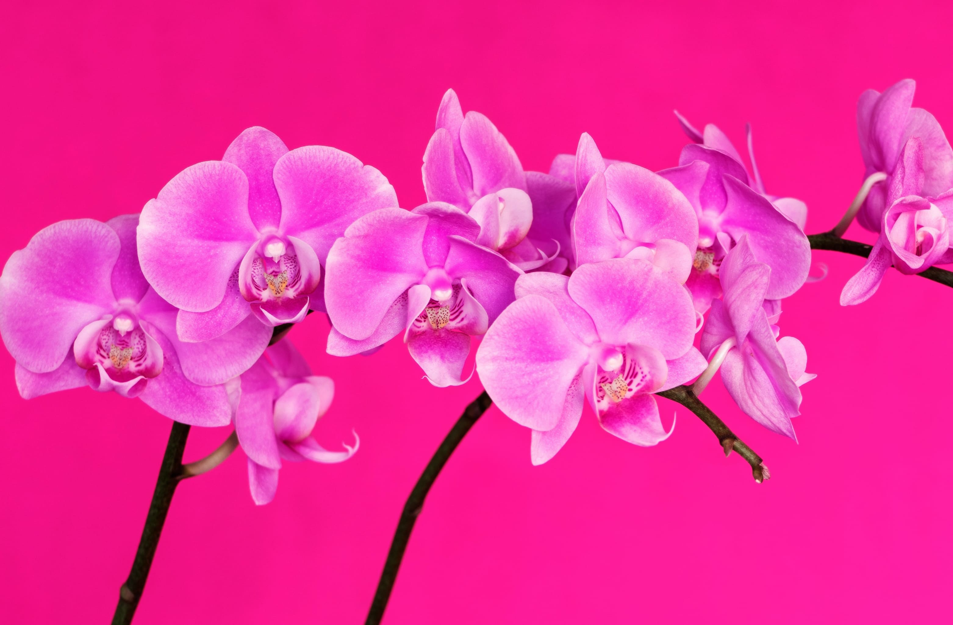 orchid-68