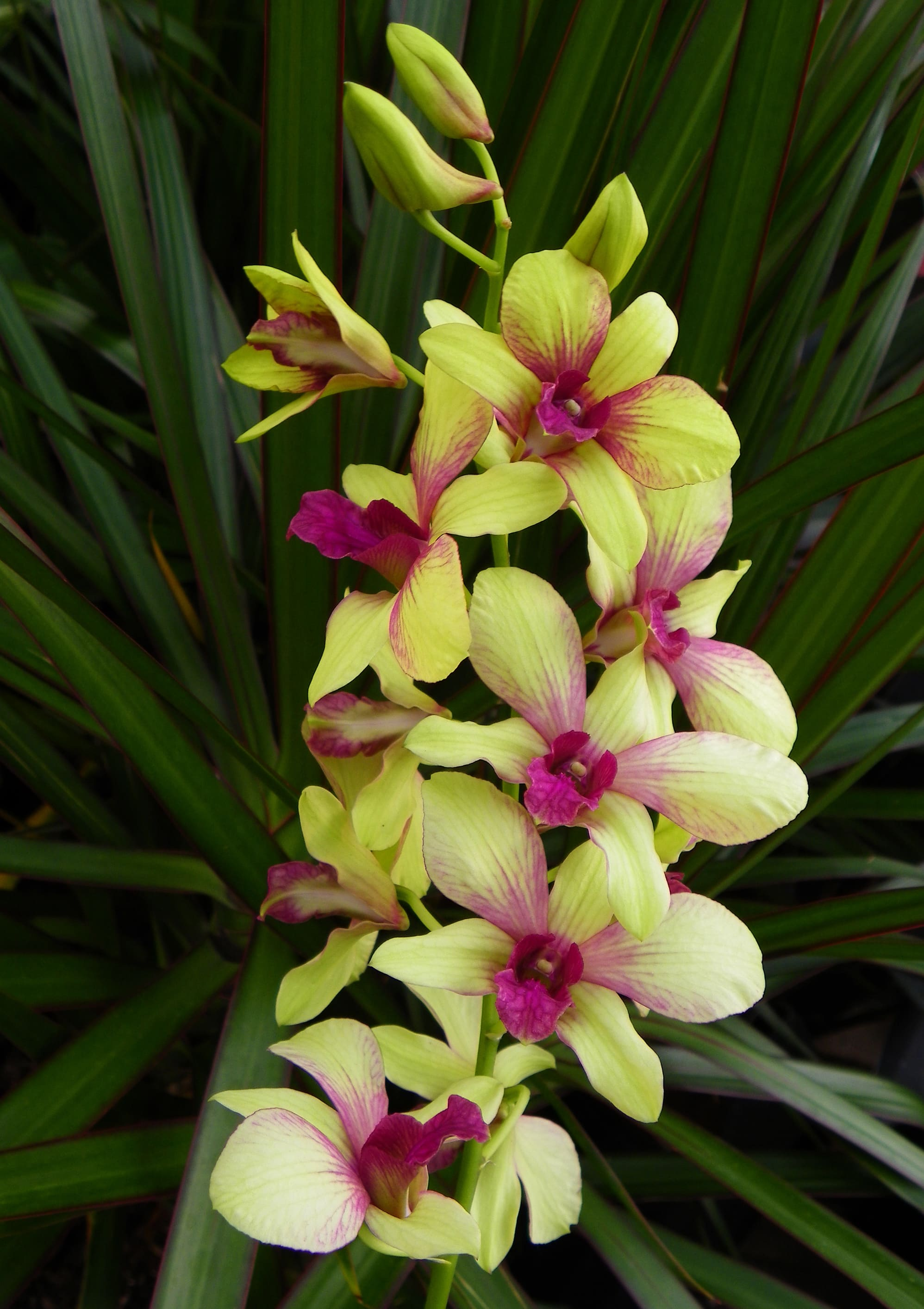 orchid-69