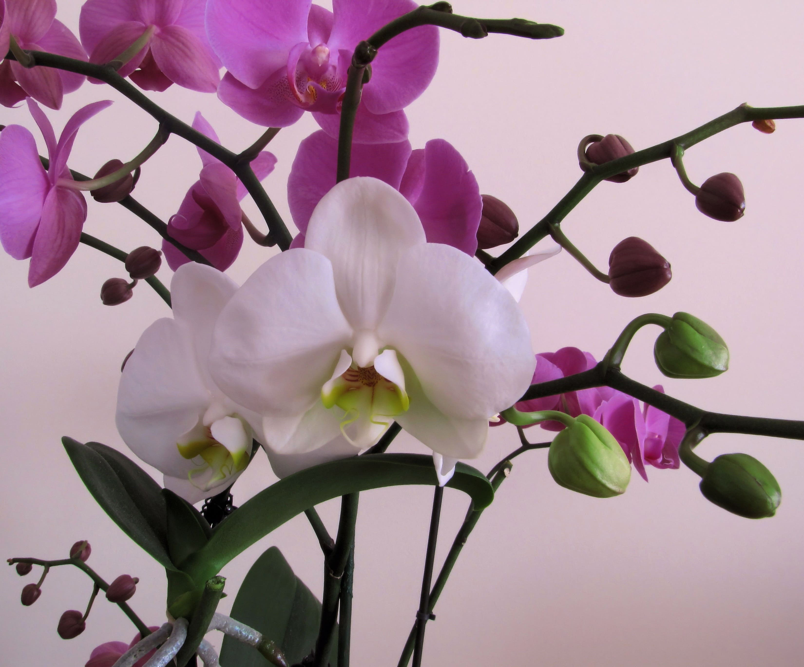 orchid-70