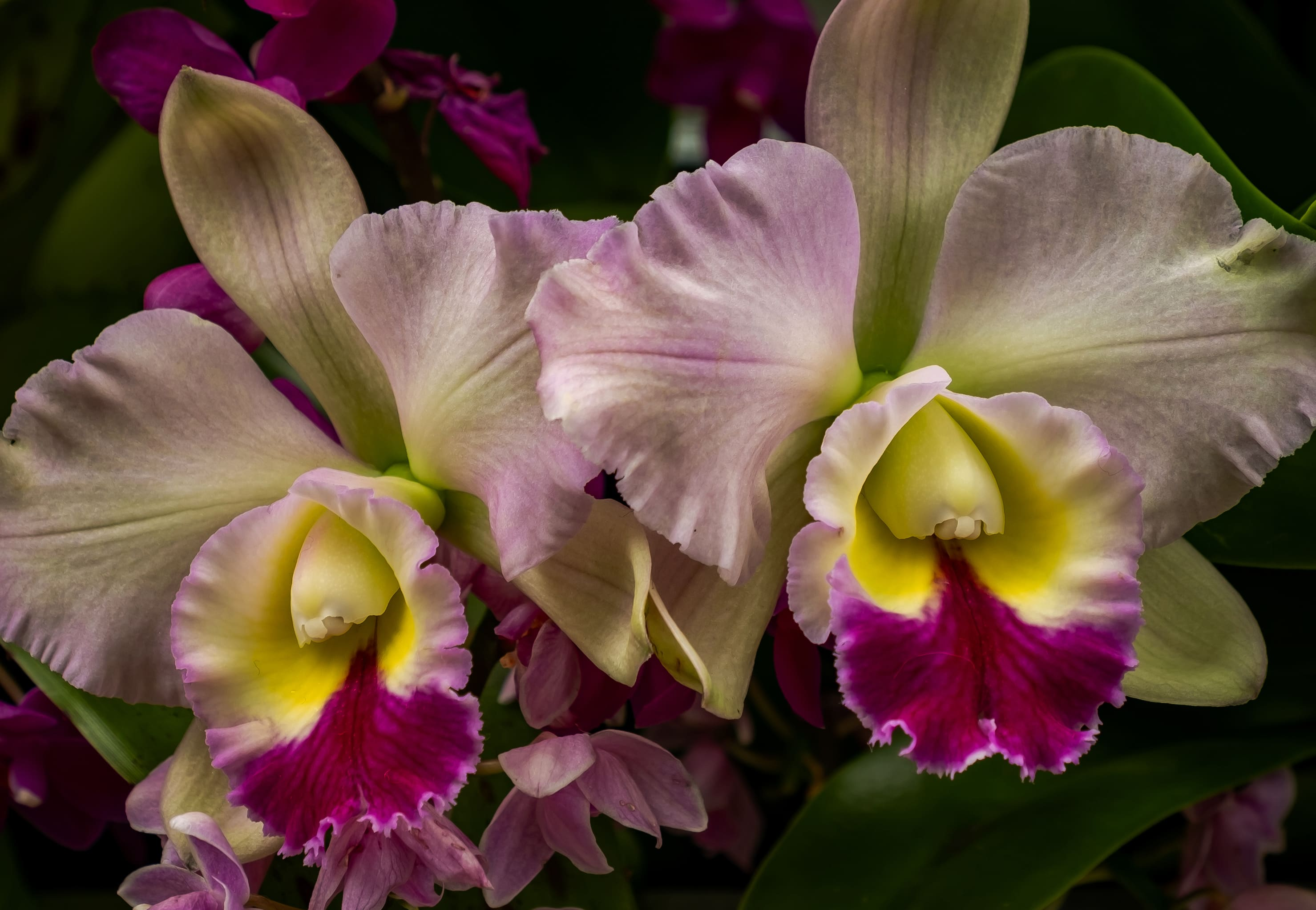 orchid-72