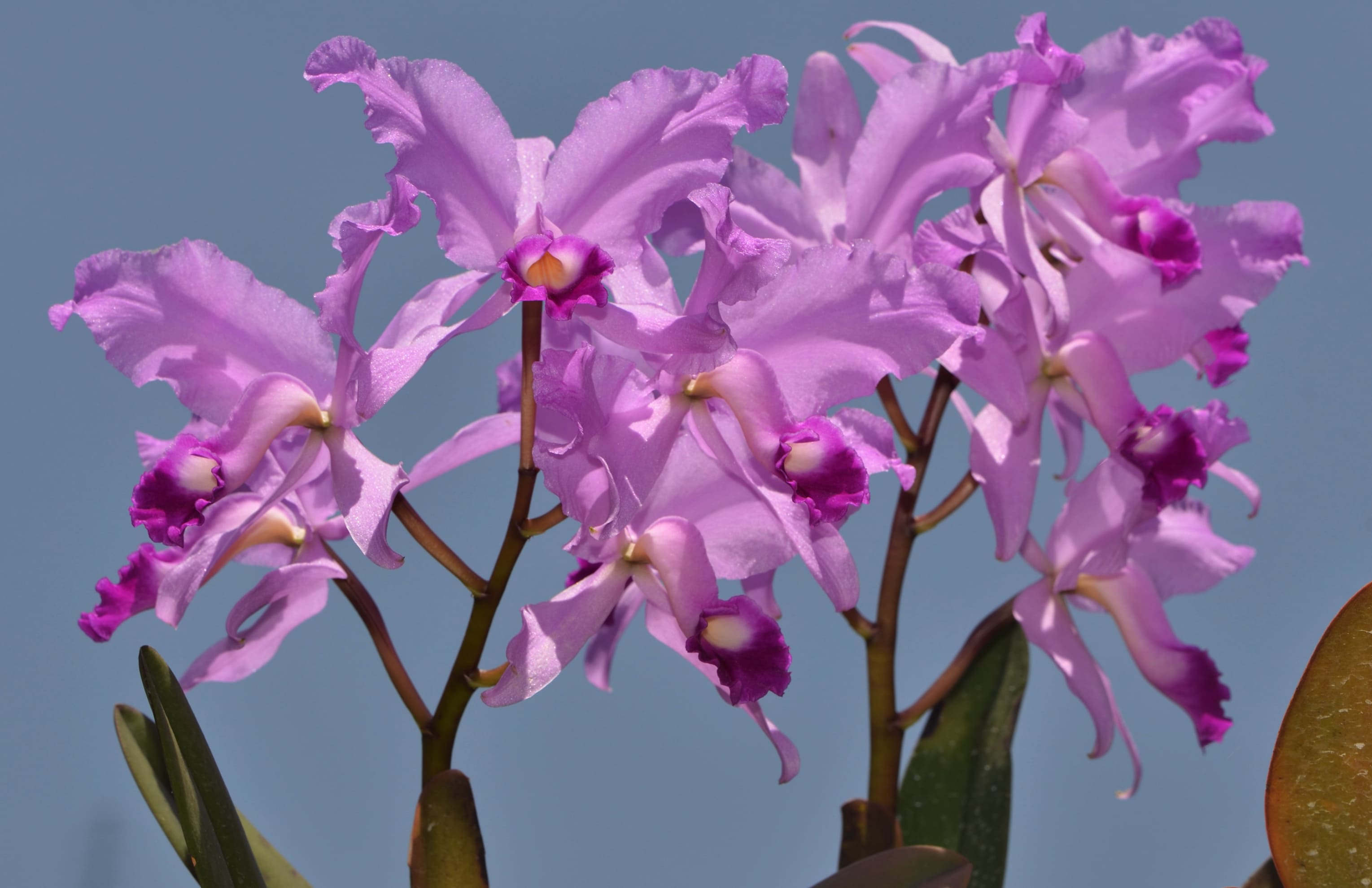 orchid-81