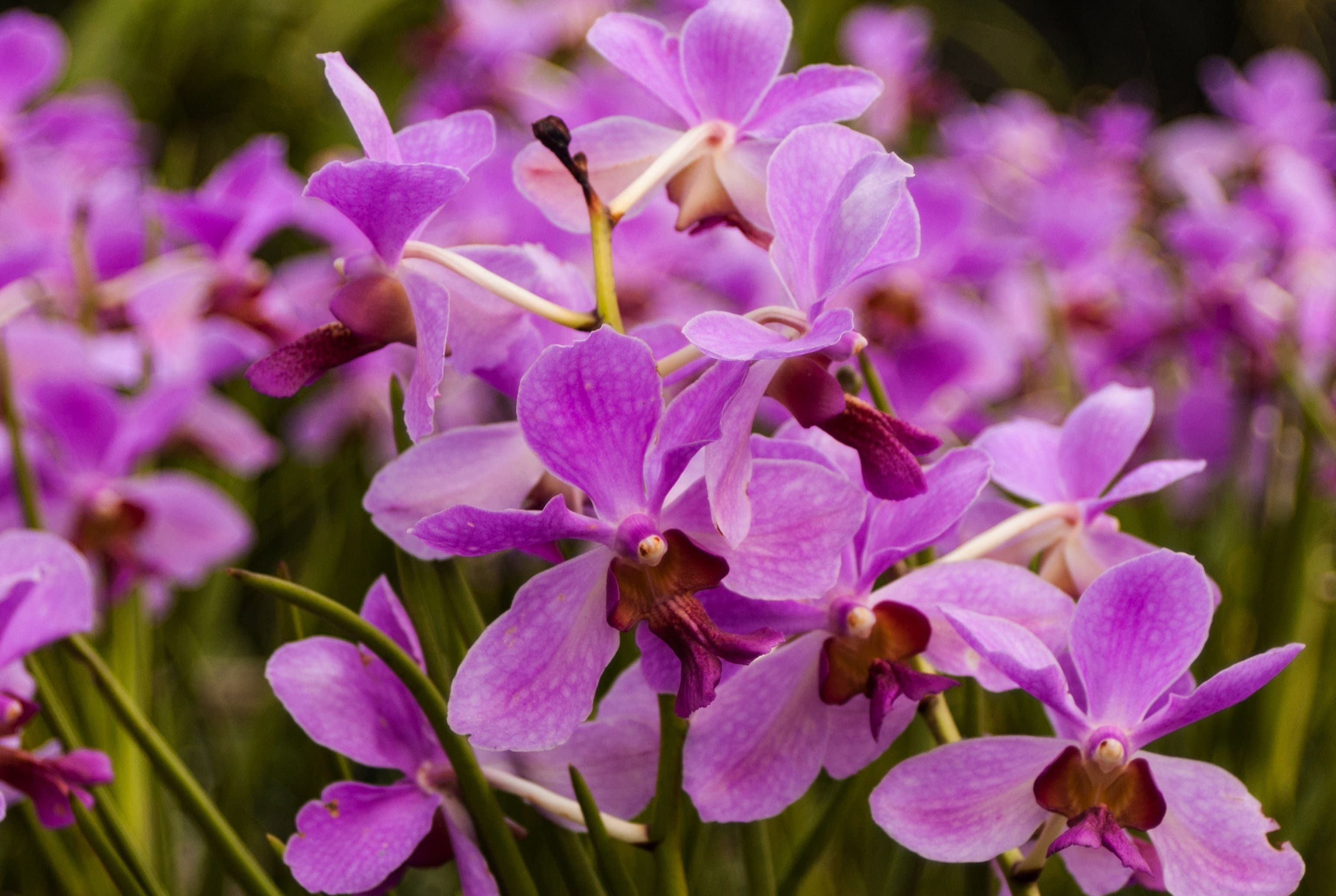 orchid-85