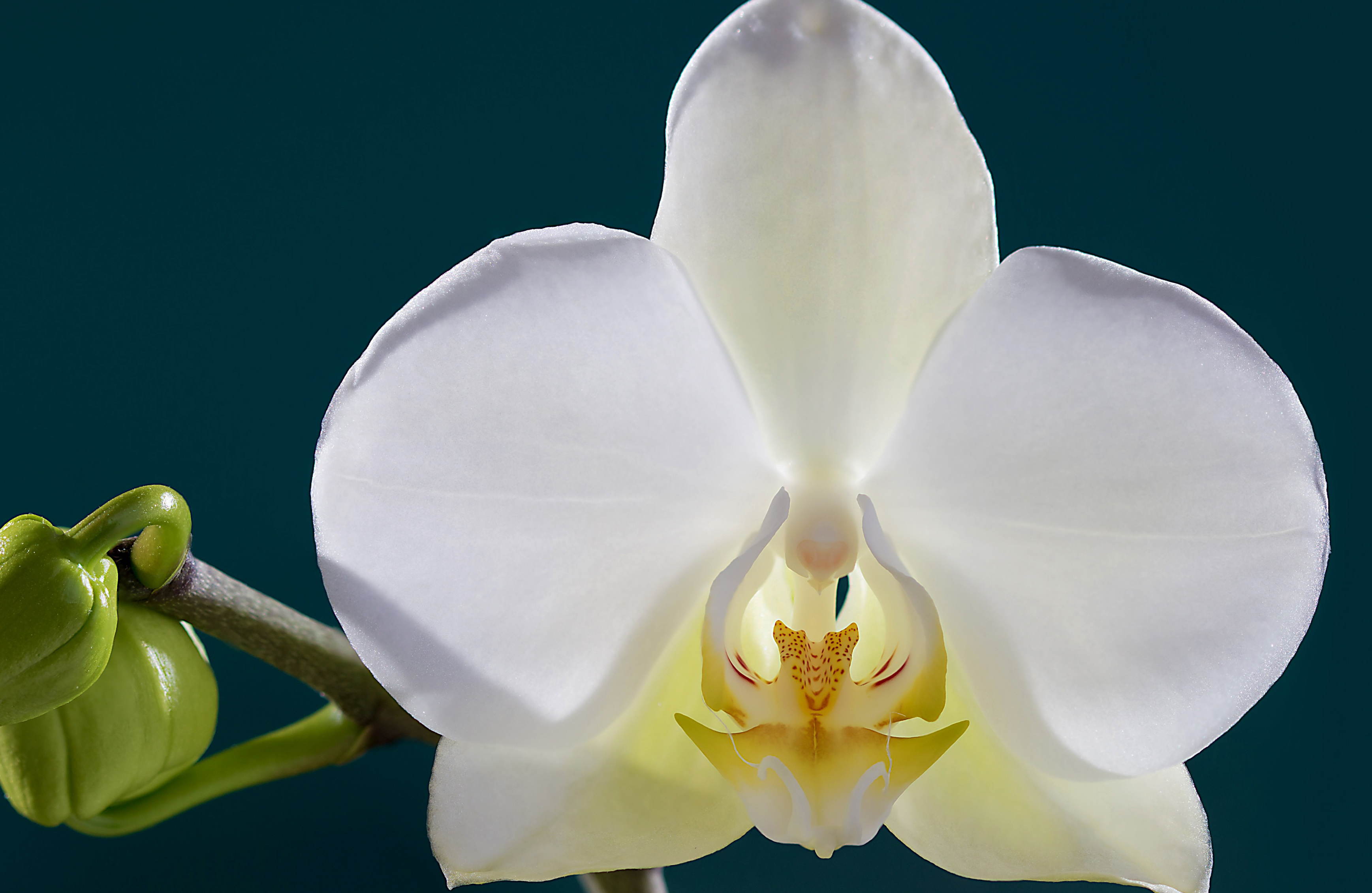 orchid-92