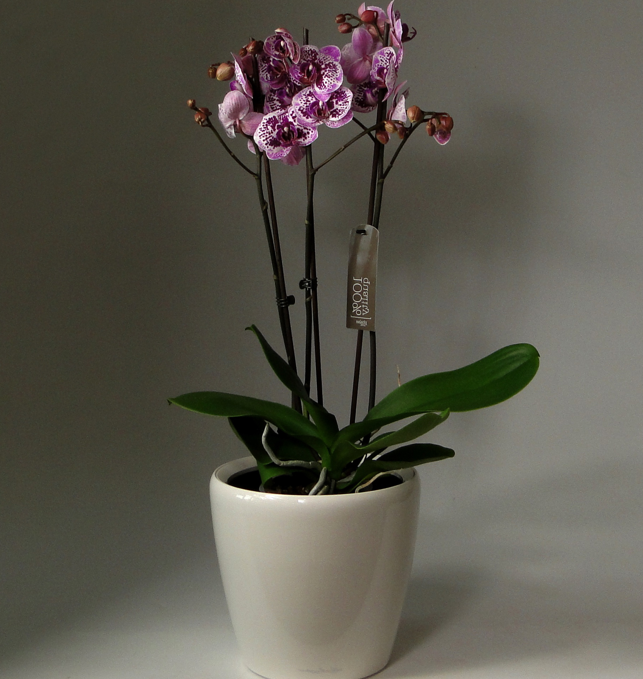 orchid-96