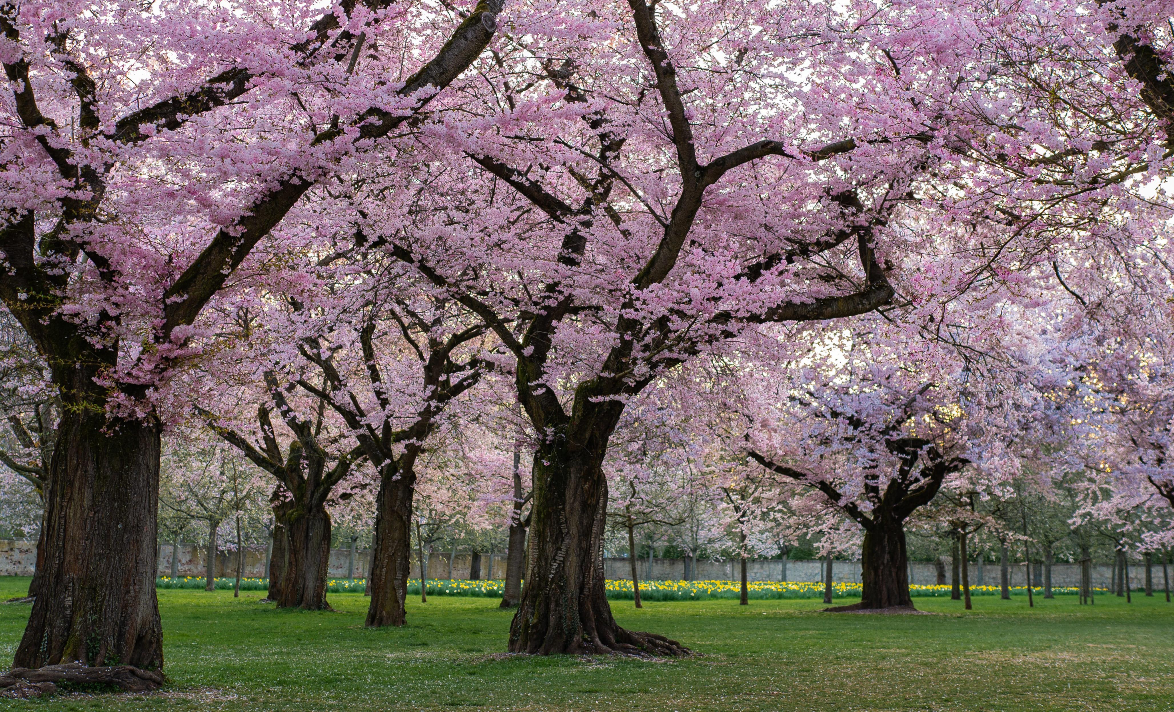 sakura-in-bloom-10