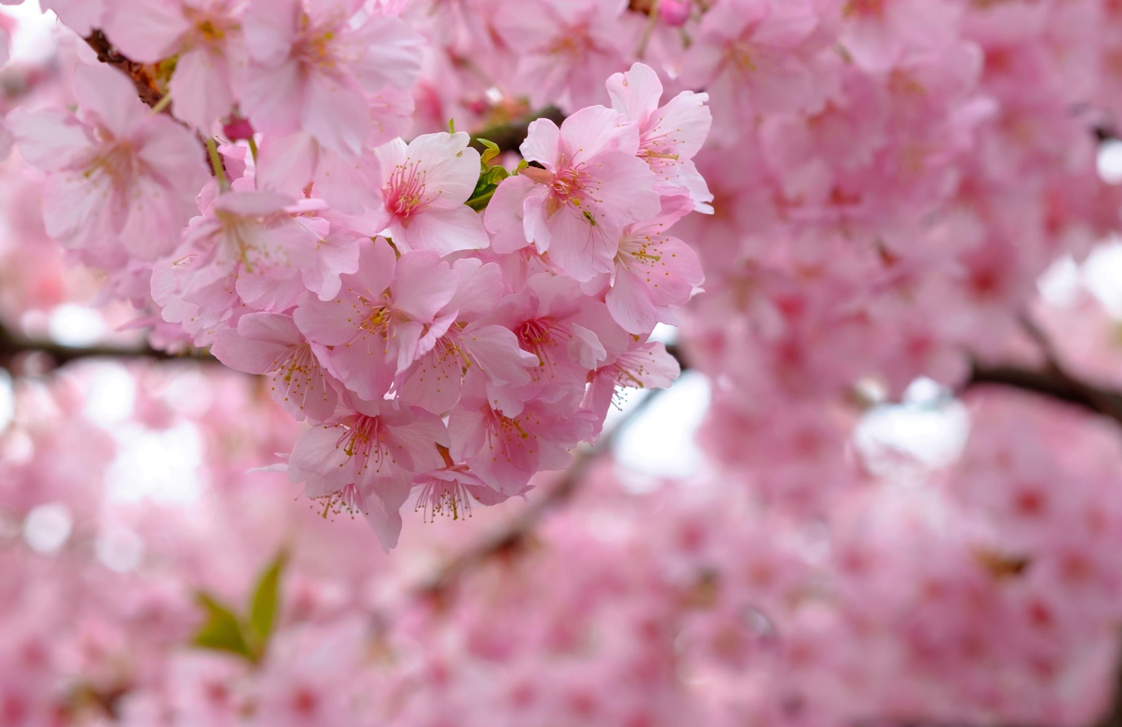 sakura-in-bloom-100