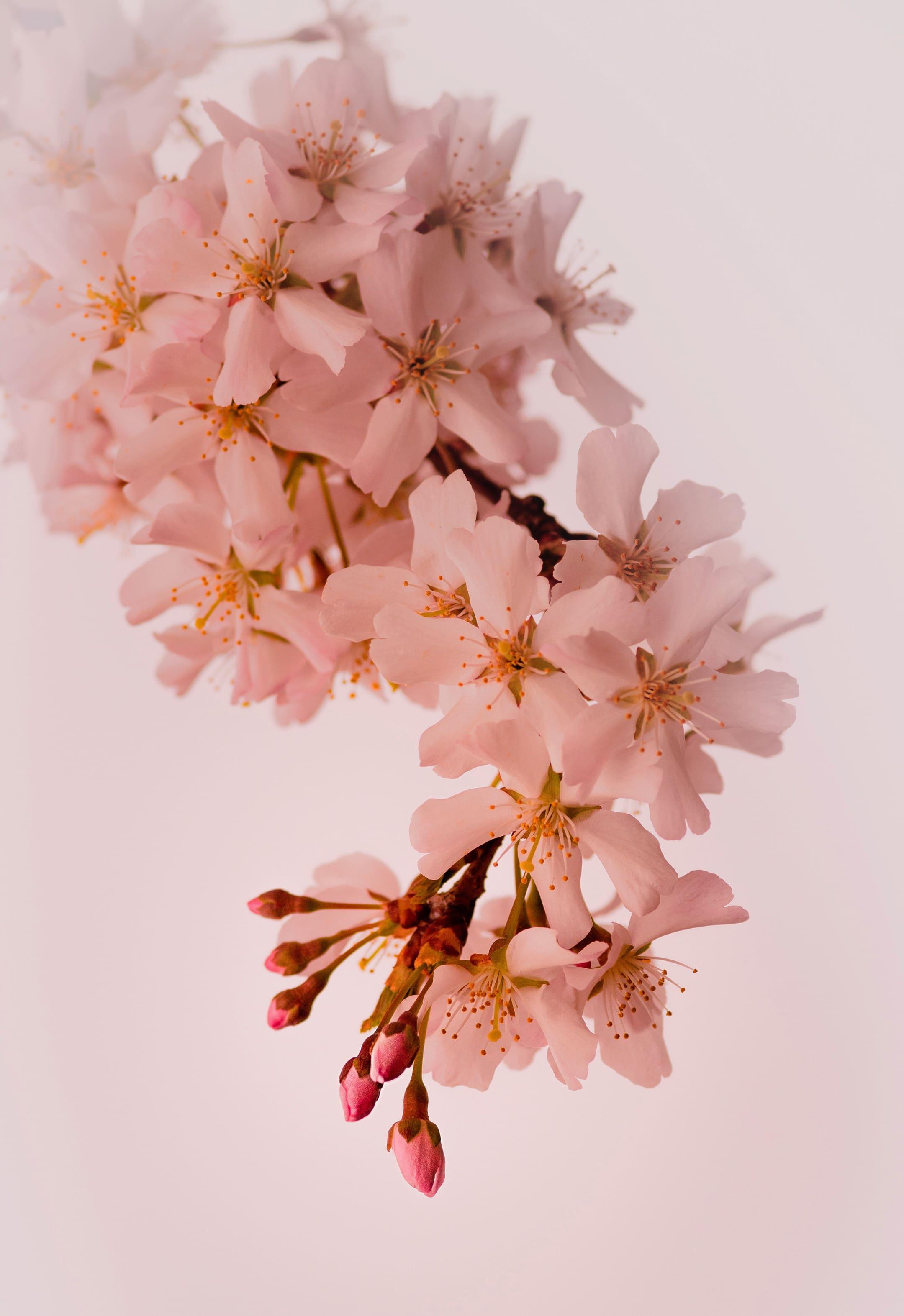 sakura-in-bloom-106