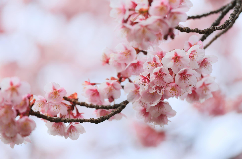 sakura-in-bloom-107