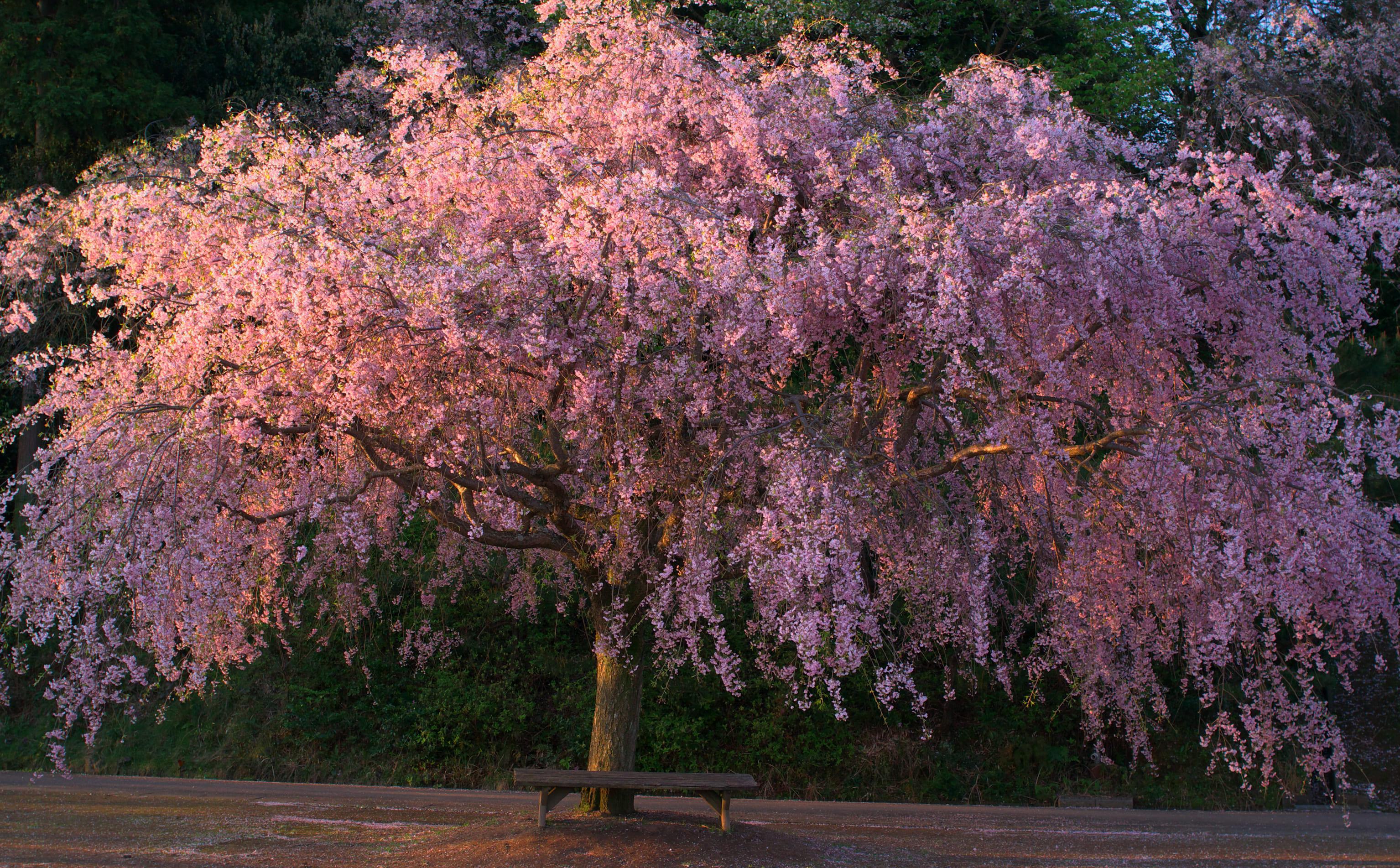 sakura-in-bloom-15