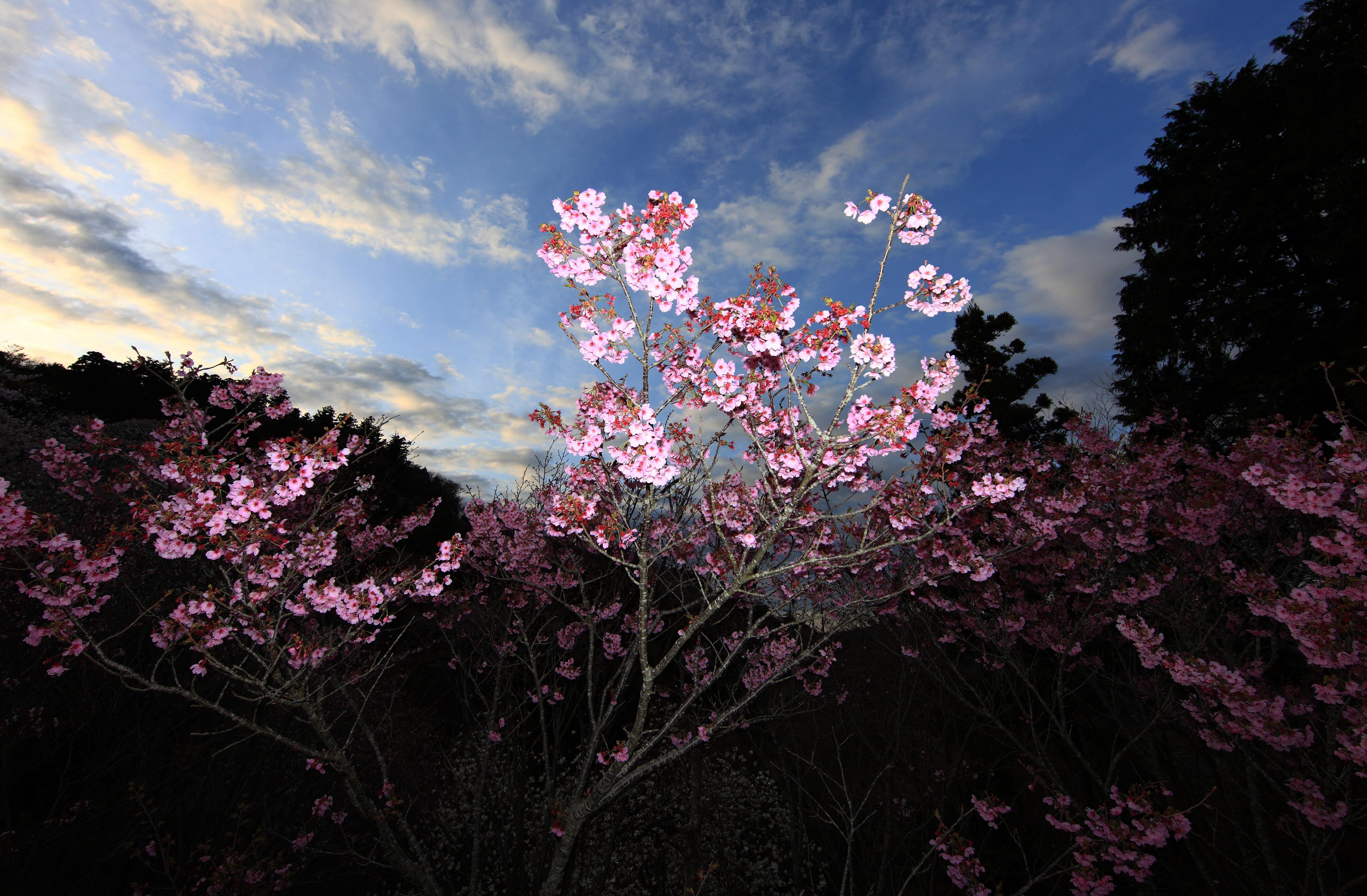 sakura-in-bloom-18