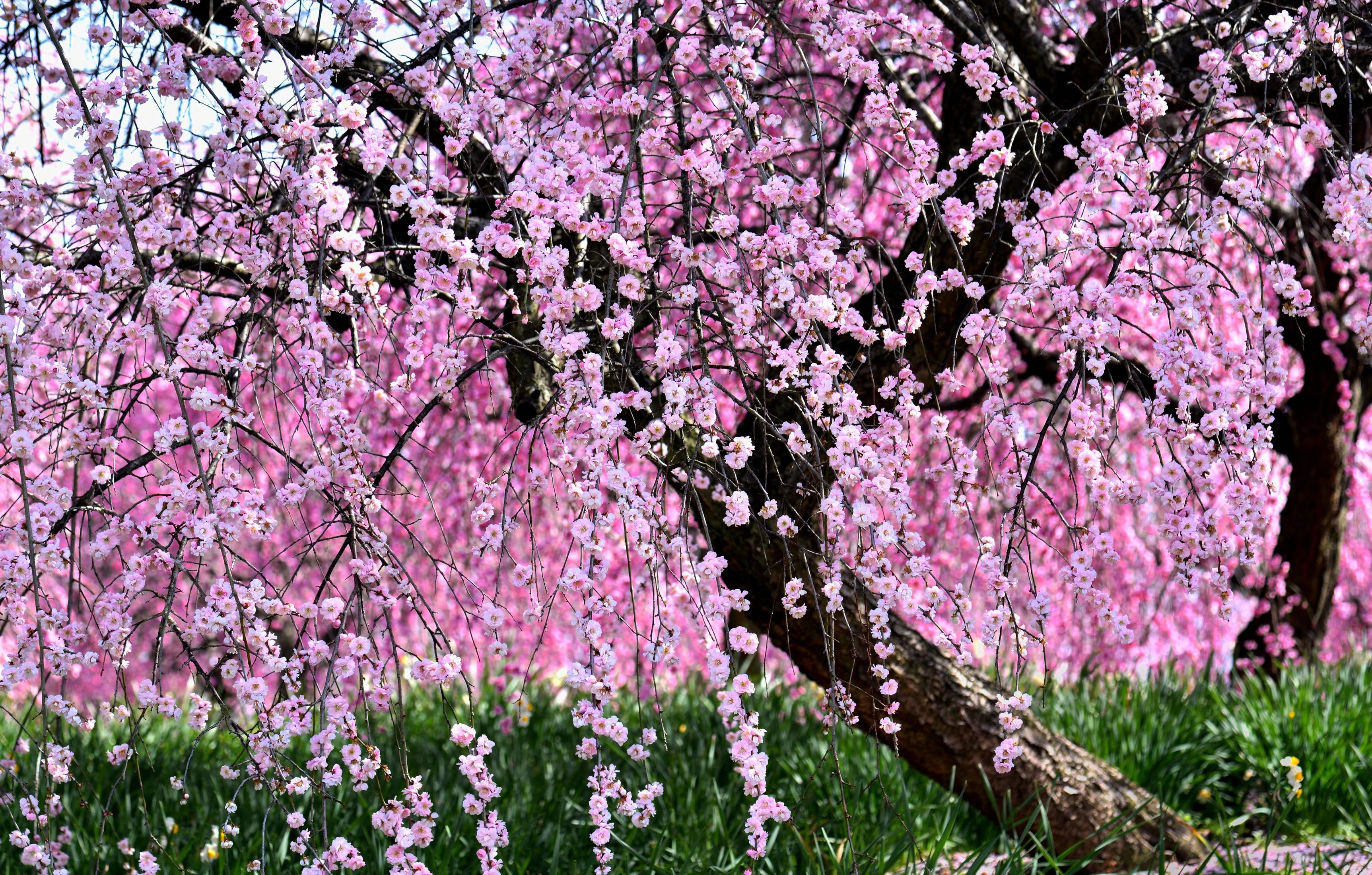 sakura-in-bloom-19
