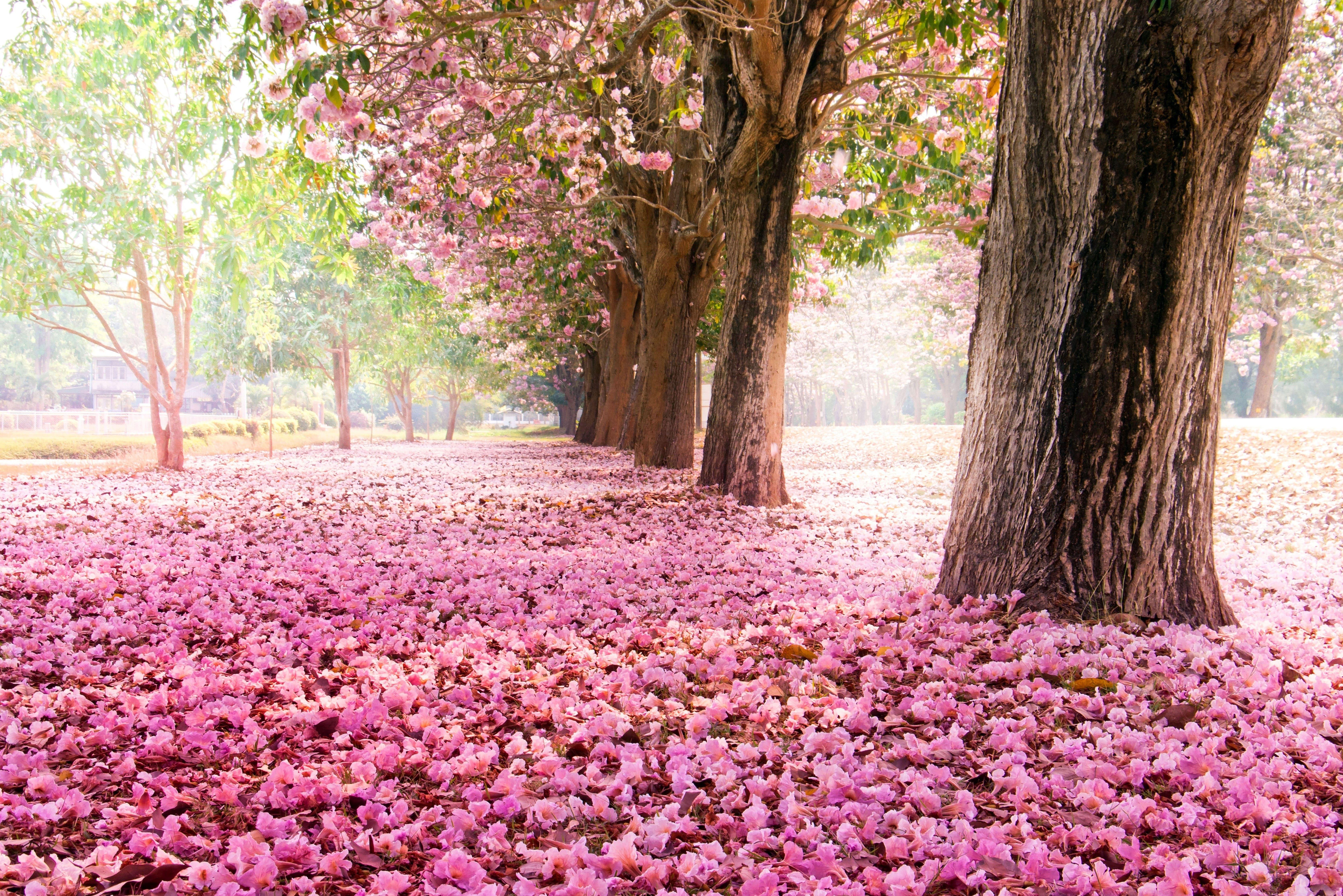 sakura-in-bloom-2