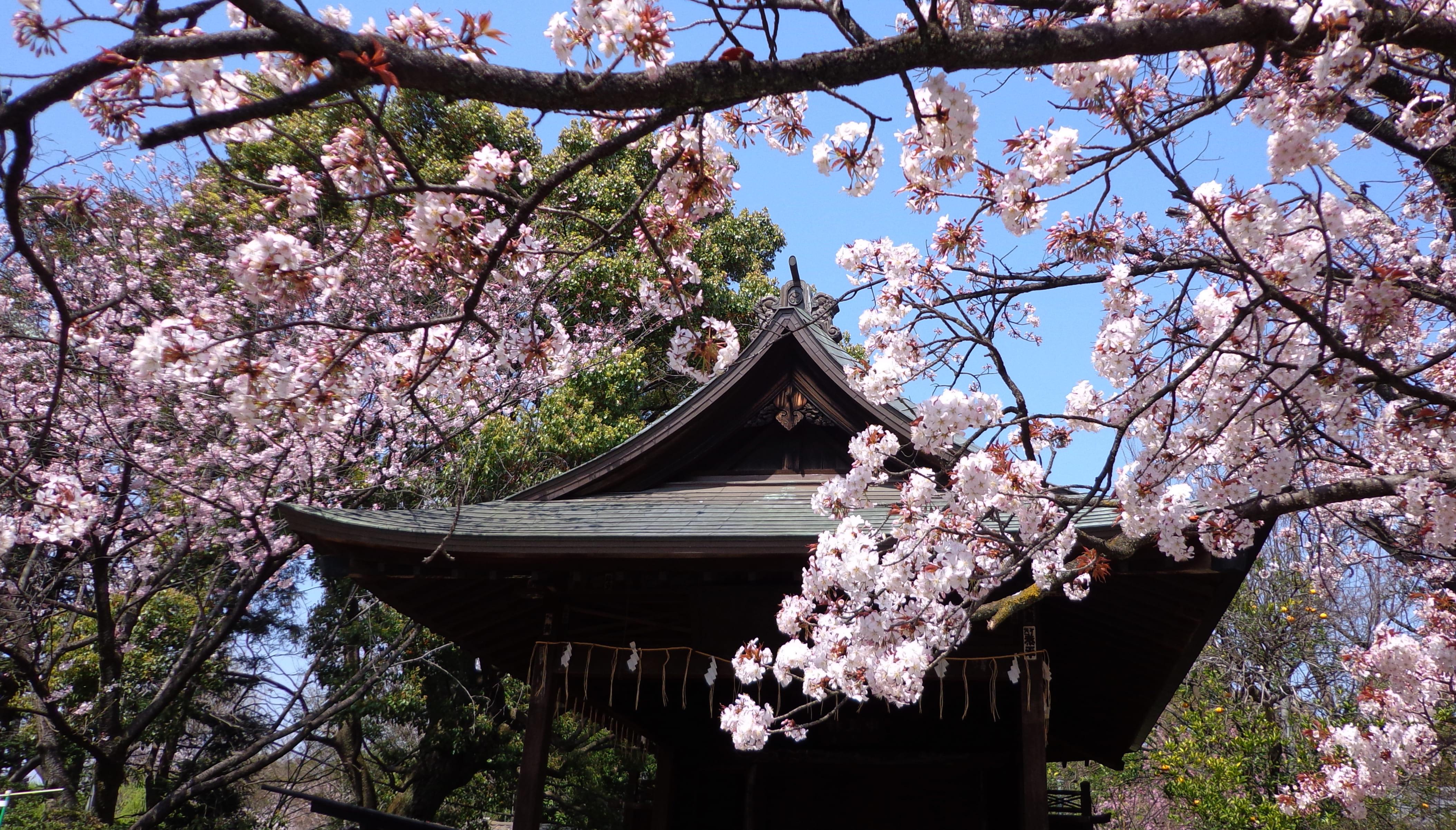 sakura-in-bloom-20