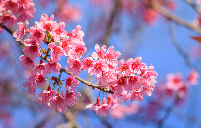 sakura-in-bloom-21