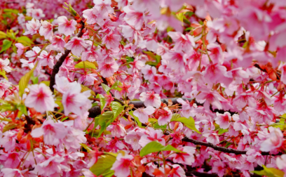 Sakura Blossom Photos - 100 Beautiful Pictures For Free