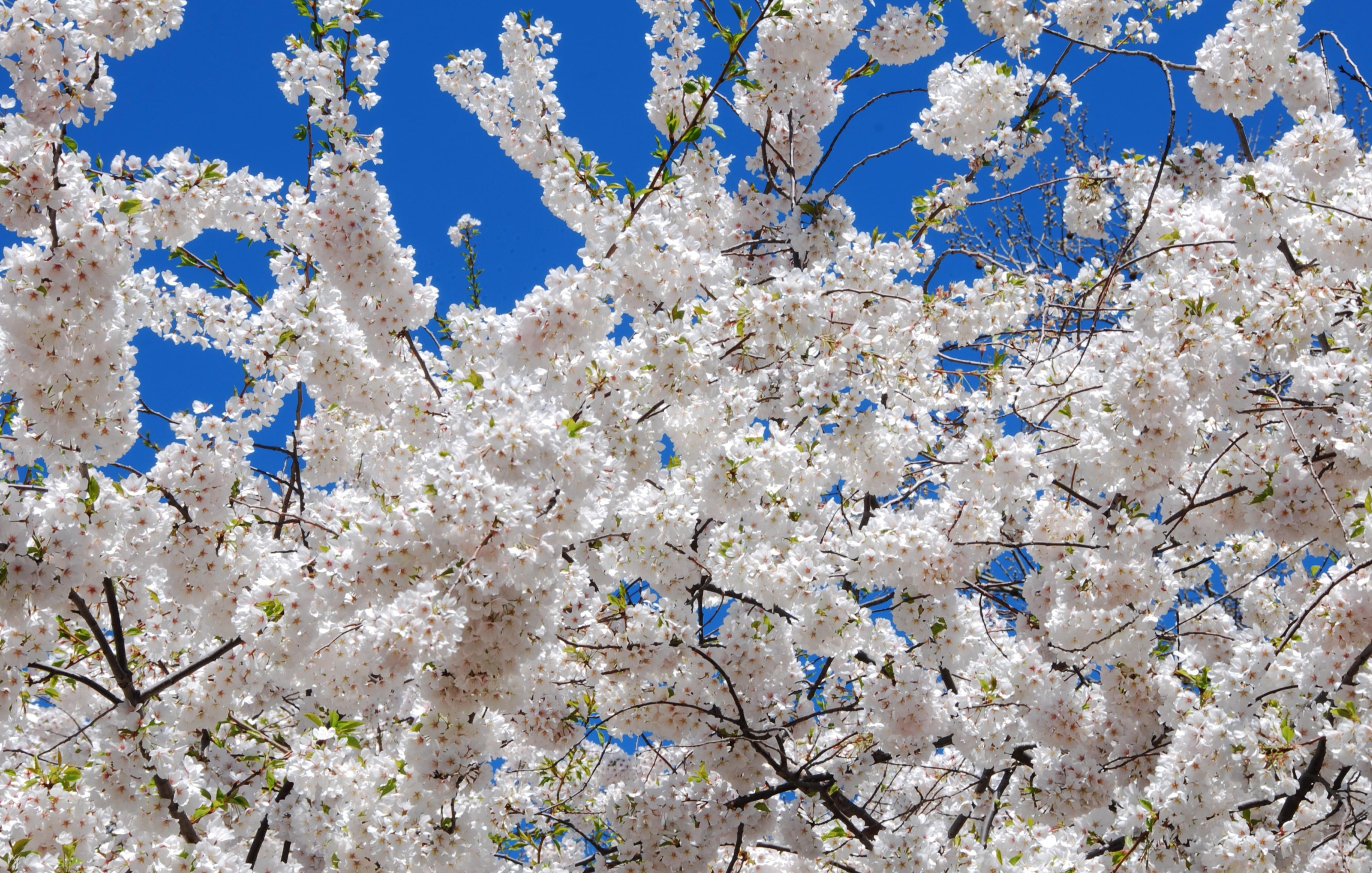sakura-in-bloom-31