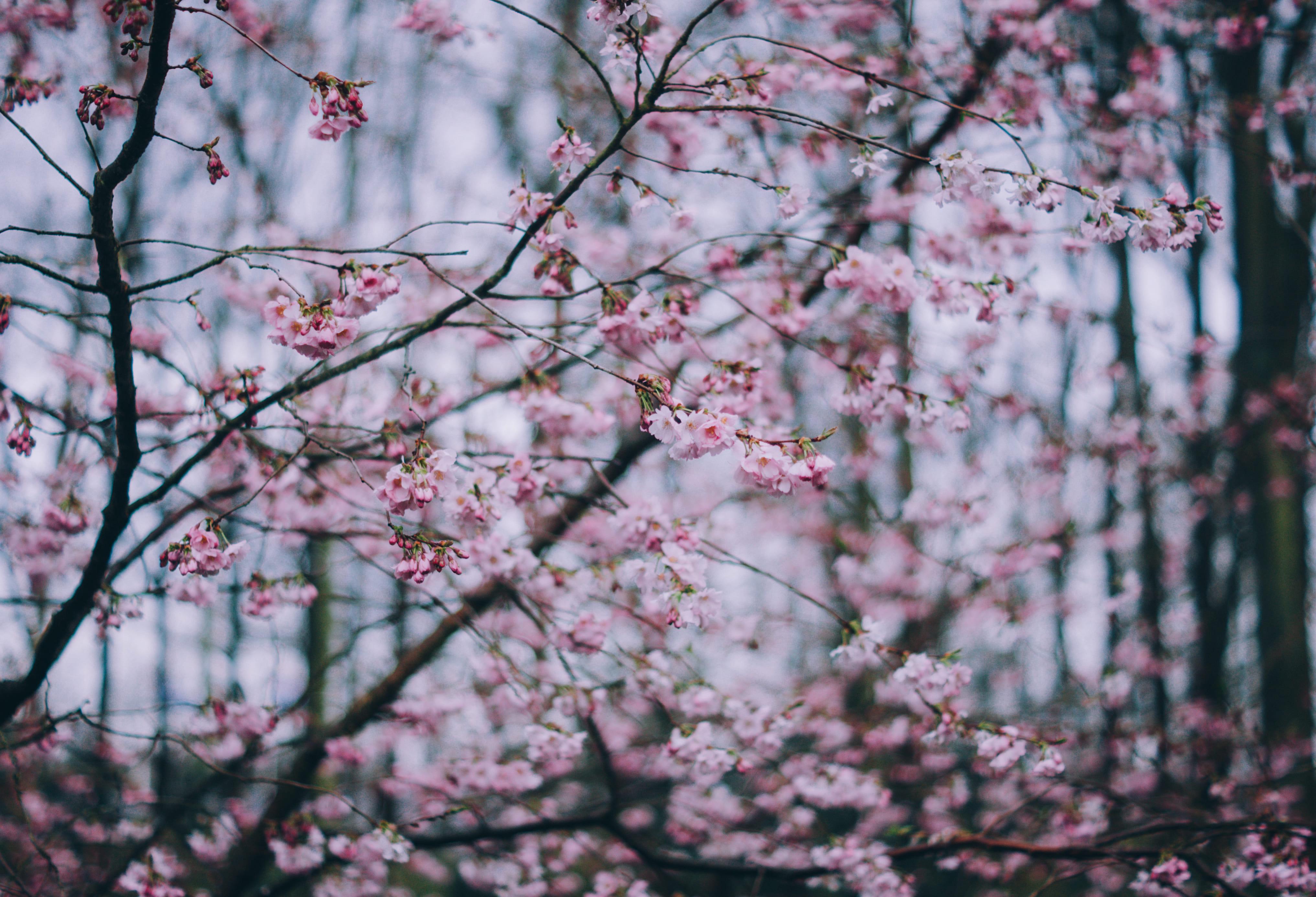 sakura-in-bloom-34