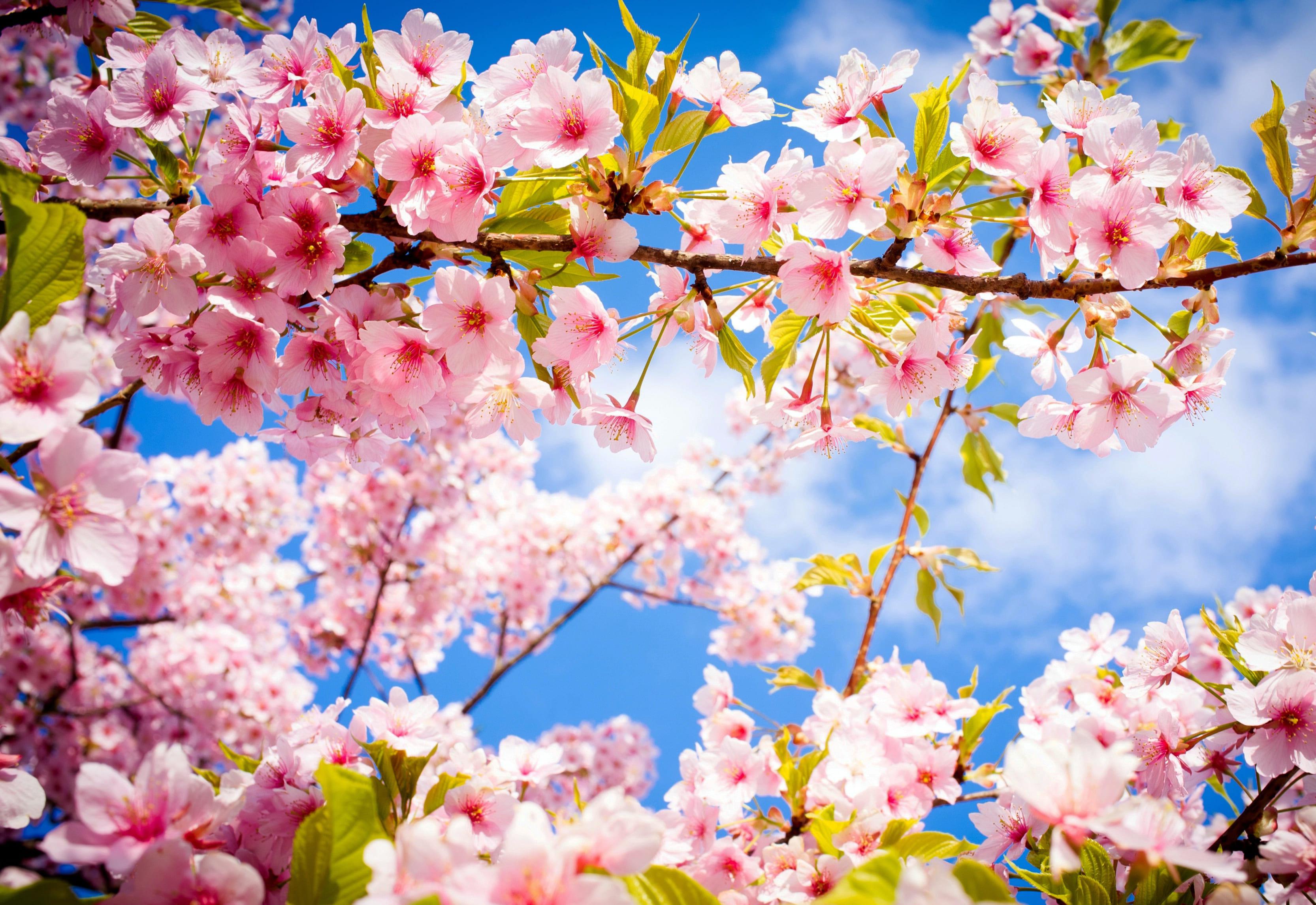 sakura-in-bloom-39