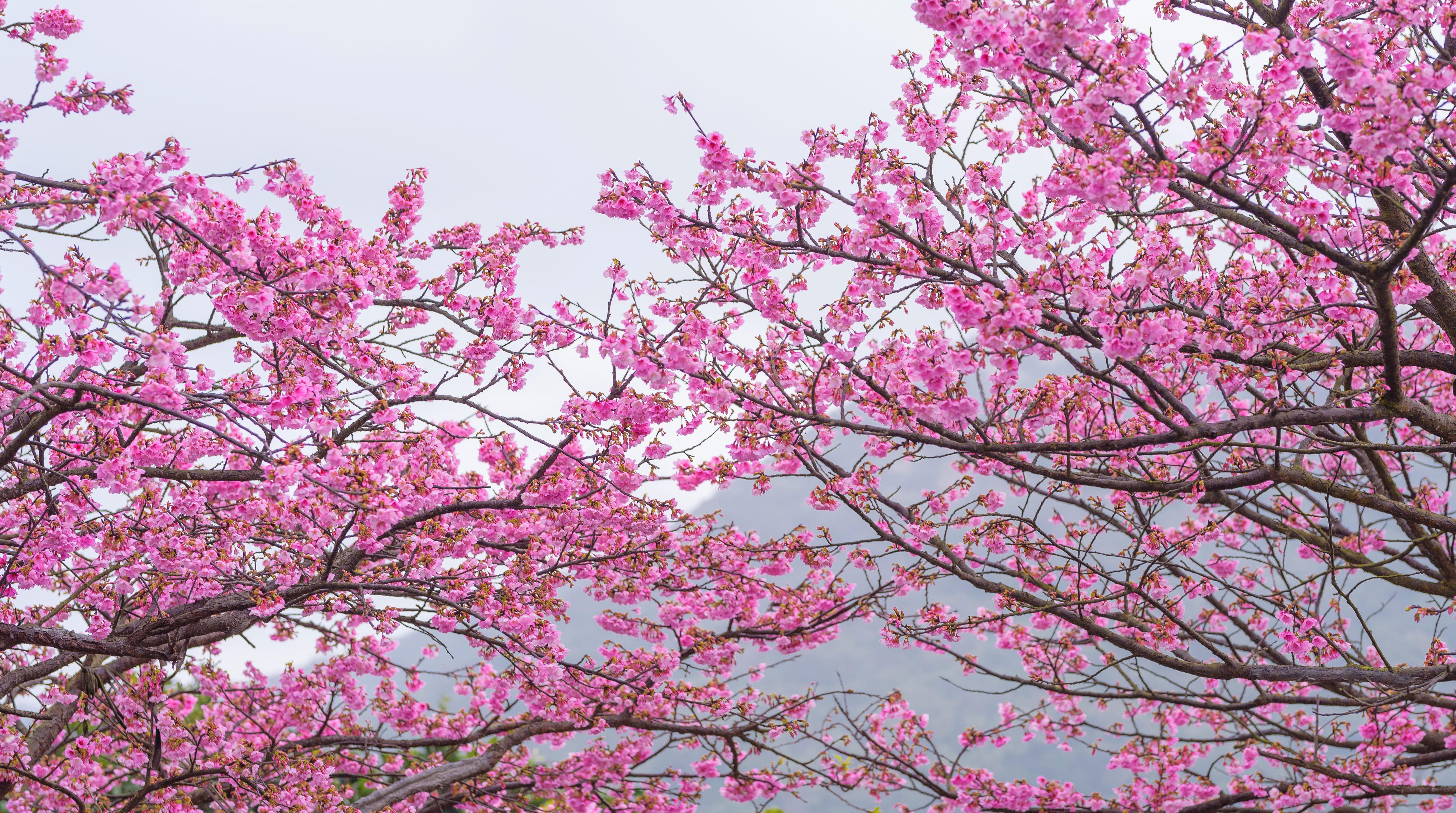 sakura-in-bloom-4