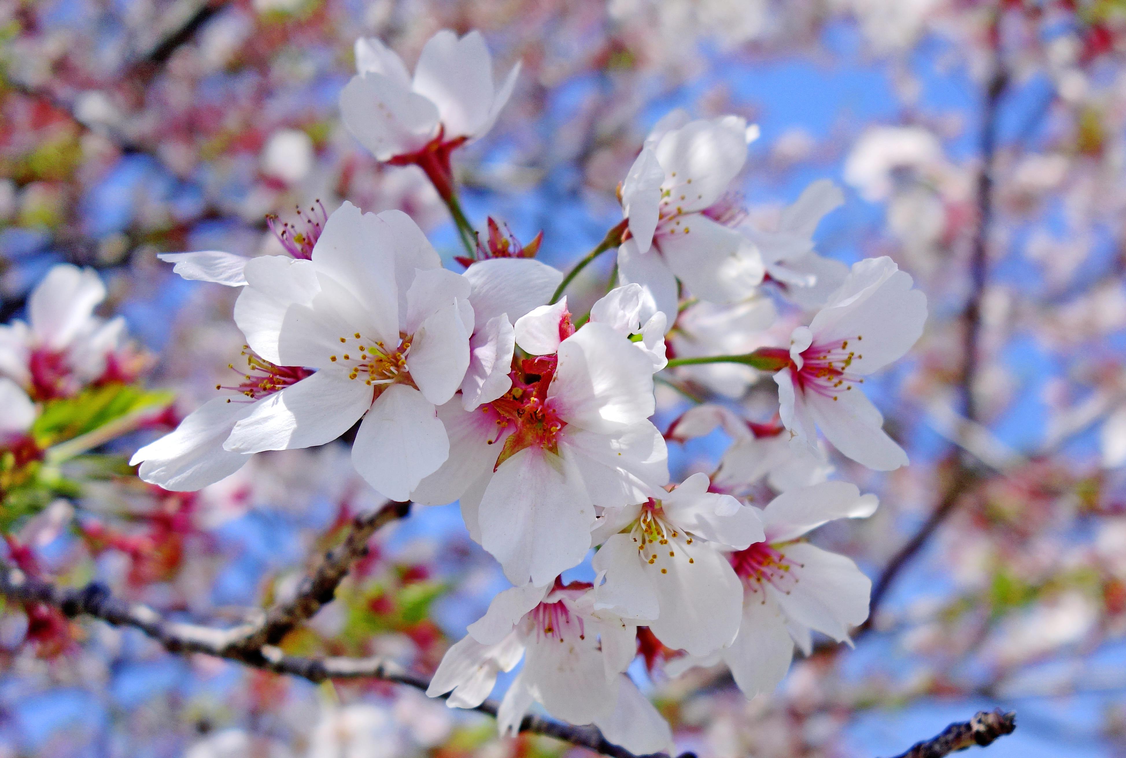 sakura-in-bloom-40