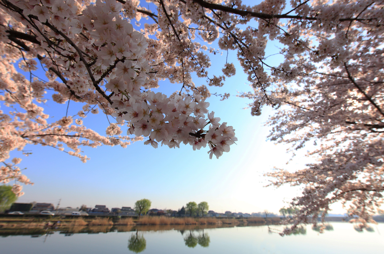 sakura-in-bloom-41