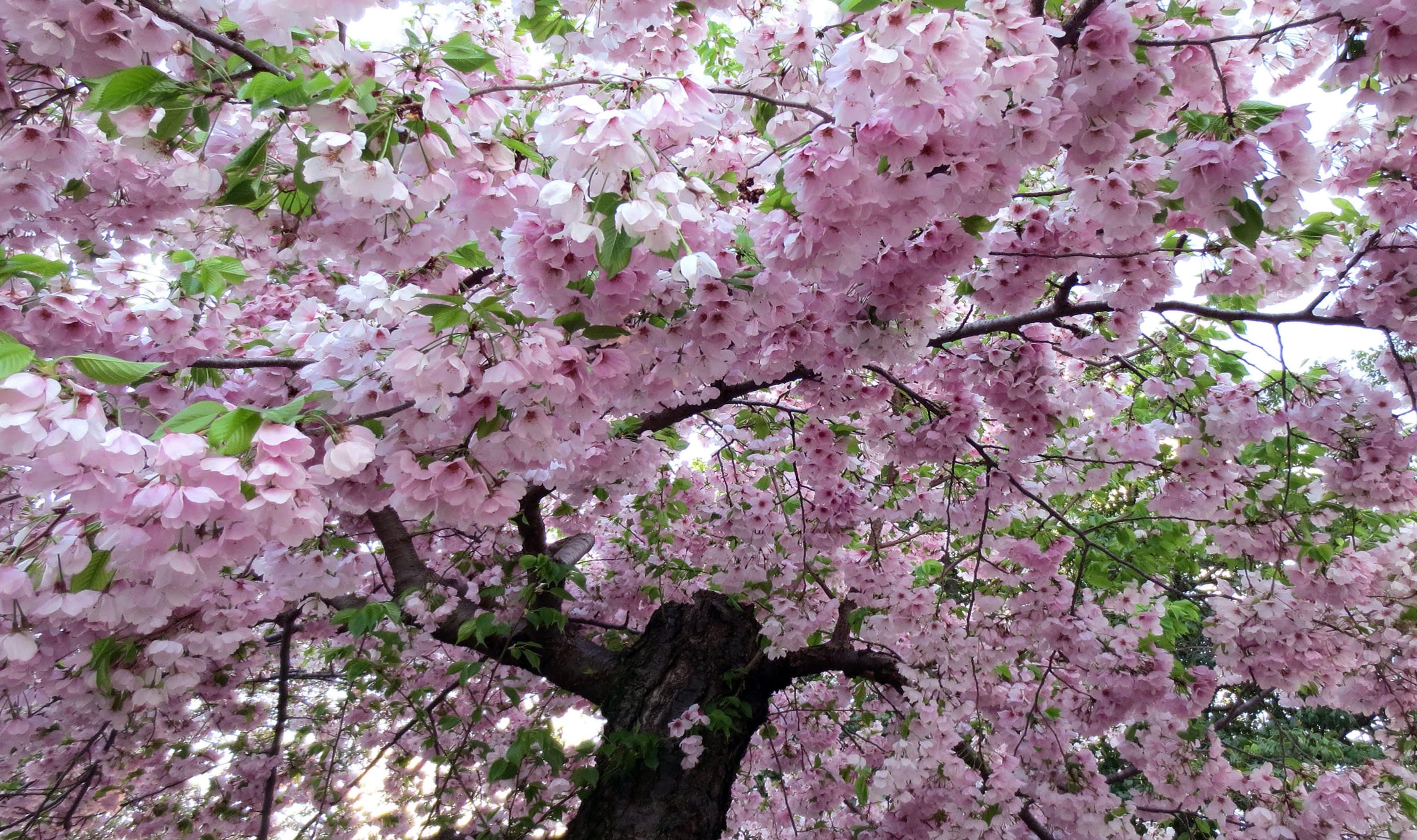 sakura-in-bloom-42