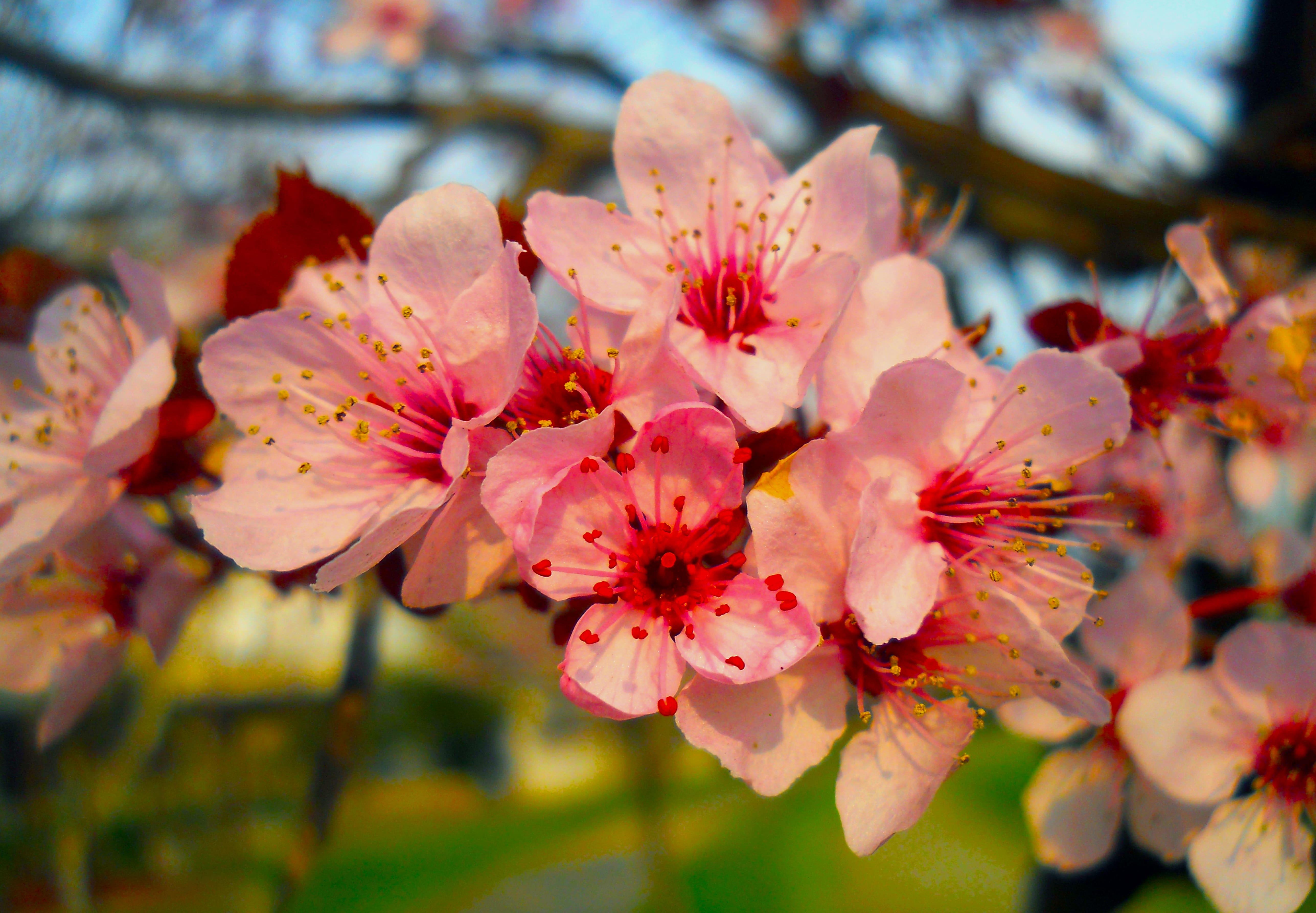 sakura-in-bloom-45