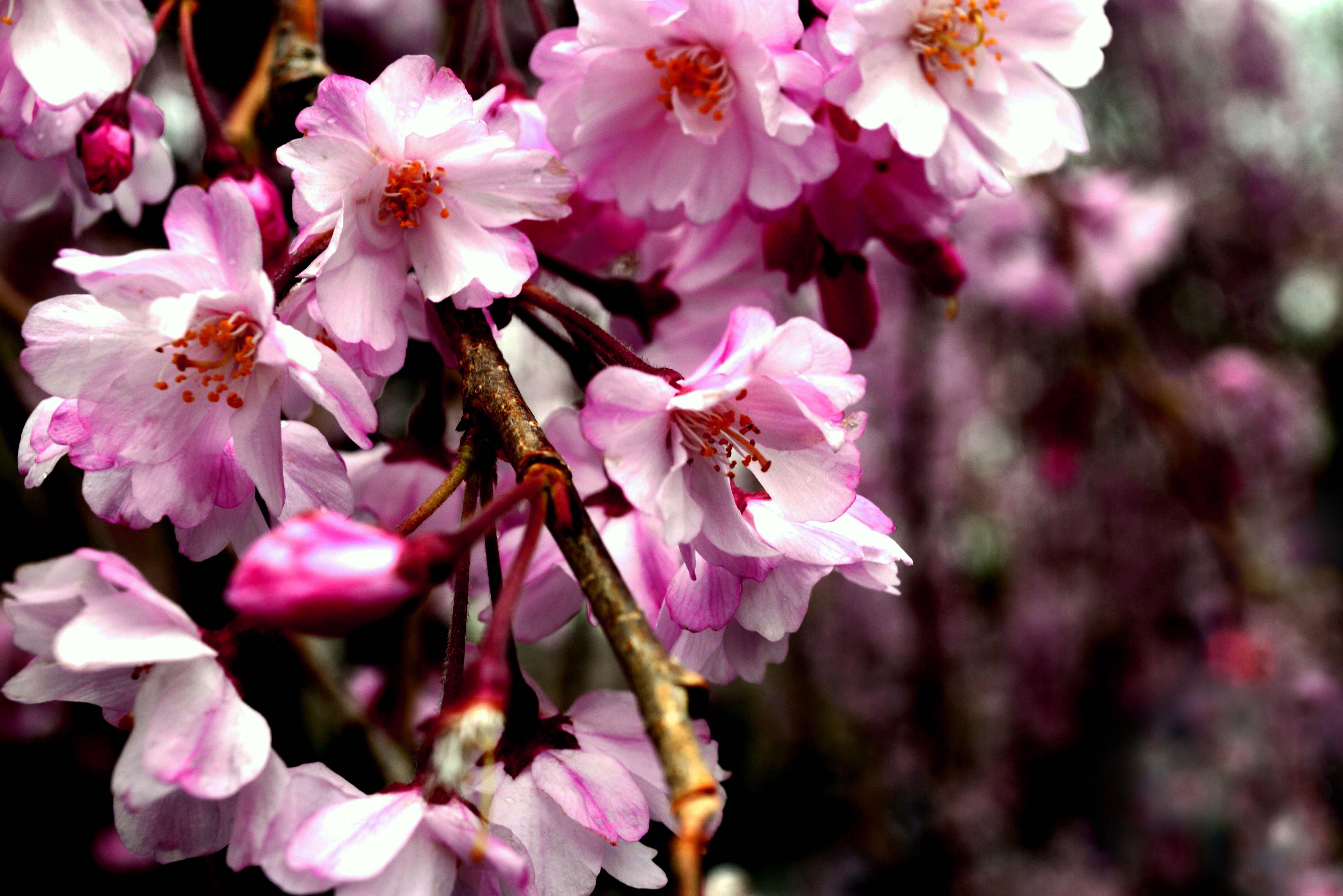 sakura-in-bloom-46
