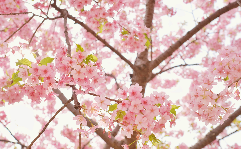 sakura-in-bloom-48