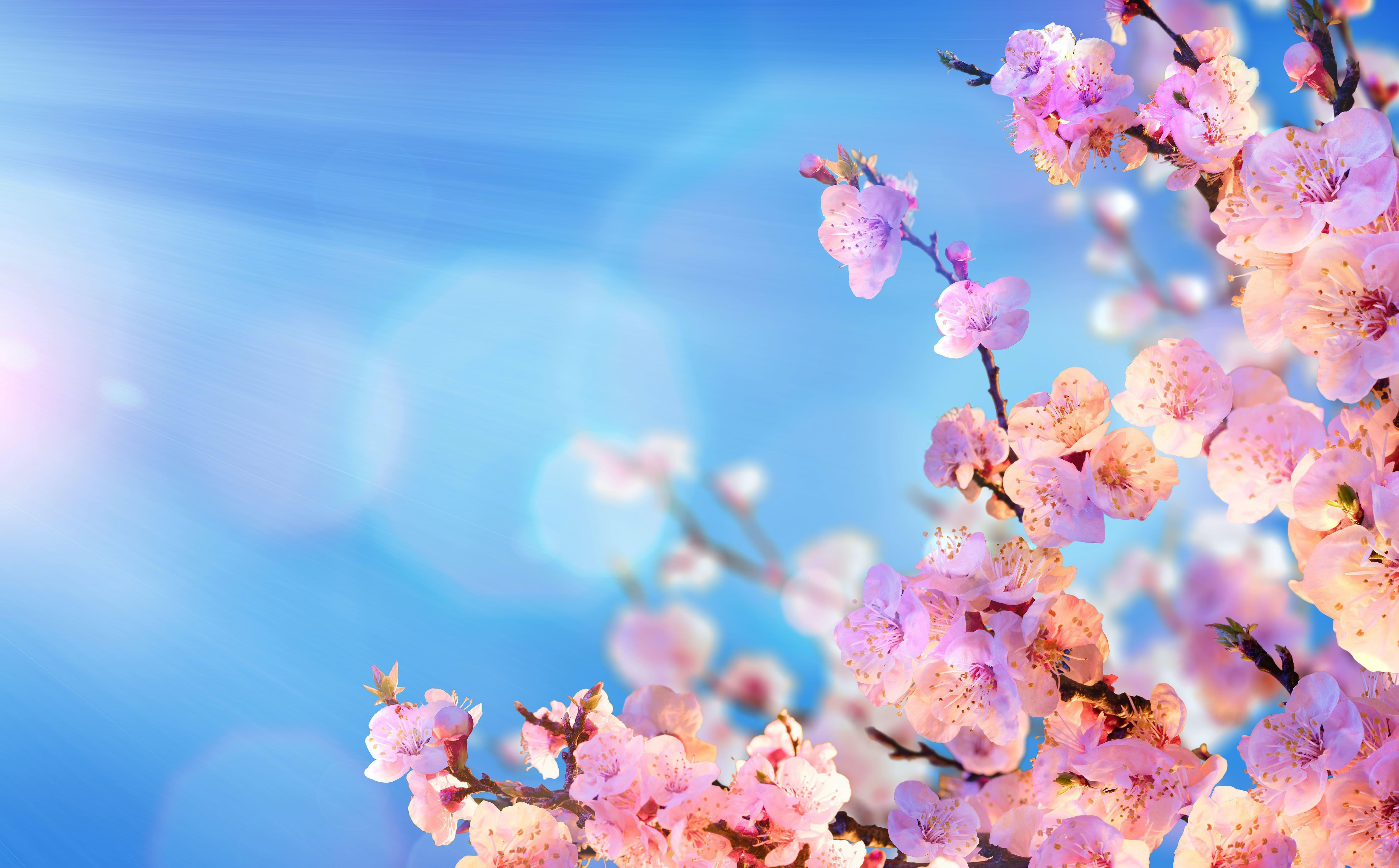 sakura-in-bloom-50