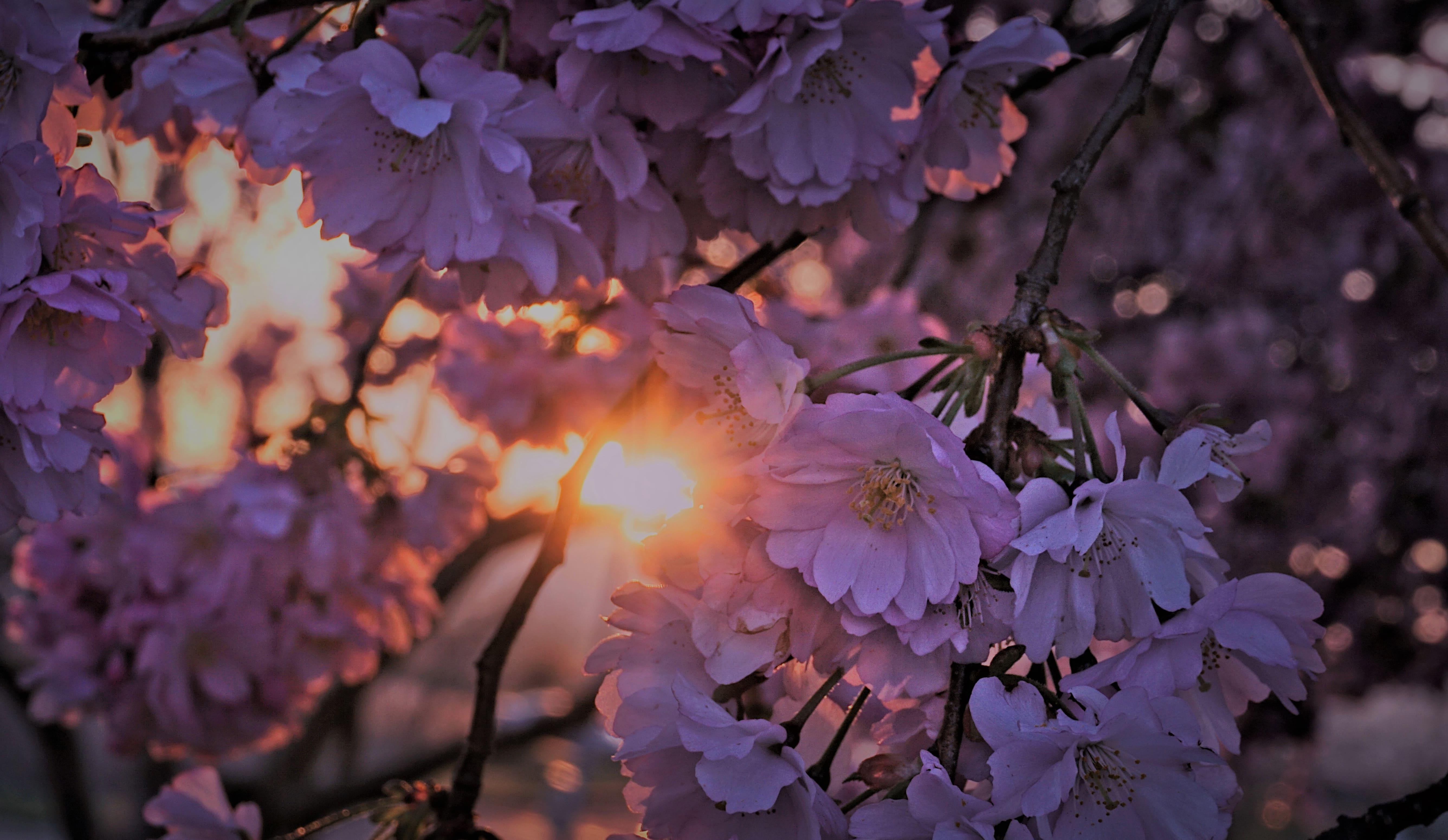 sakura-in-bloom-51
