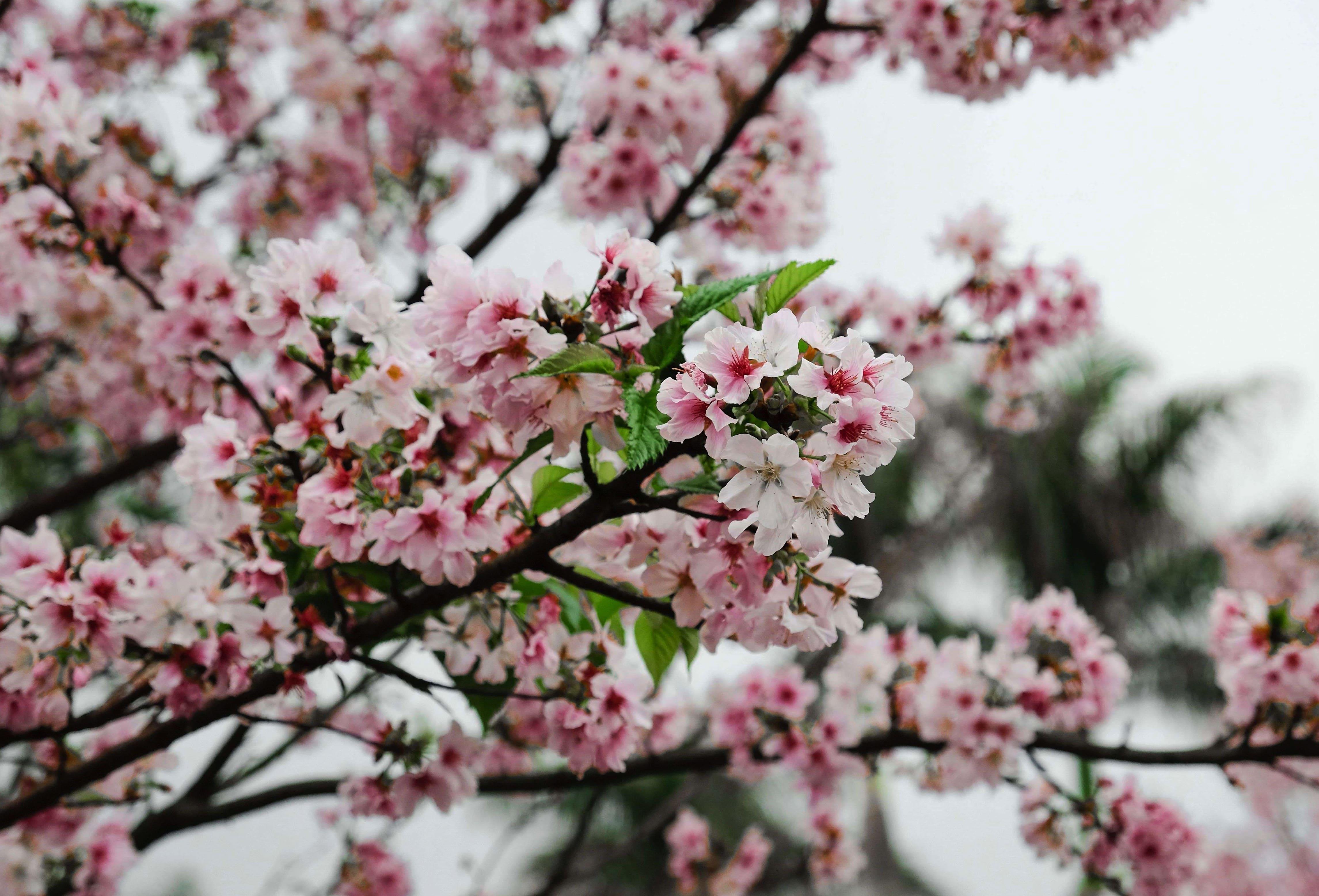 sakura-in-bloom-54