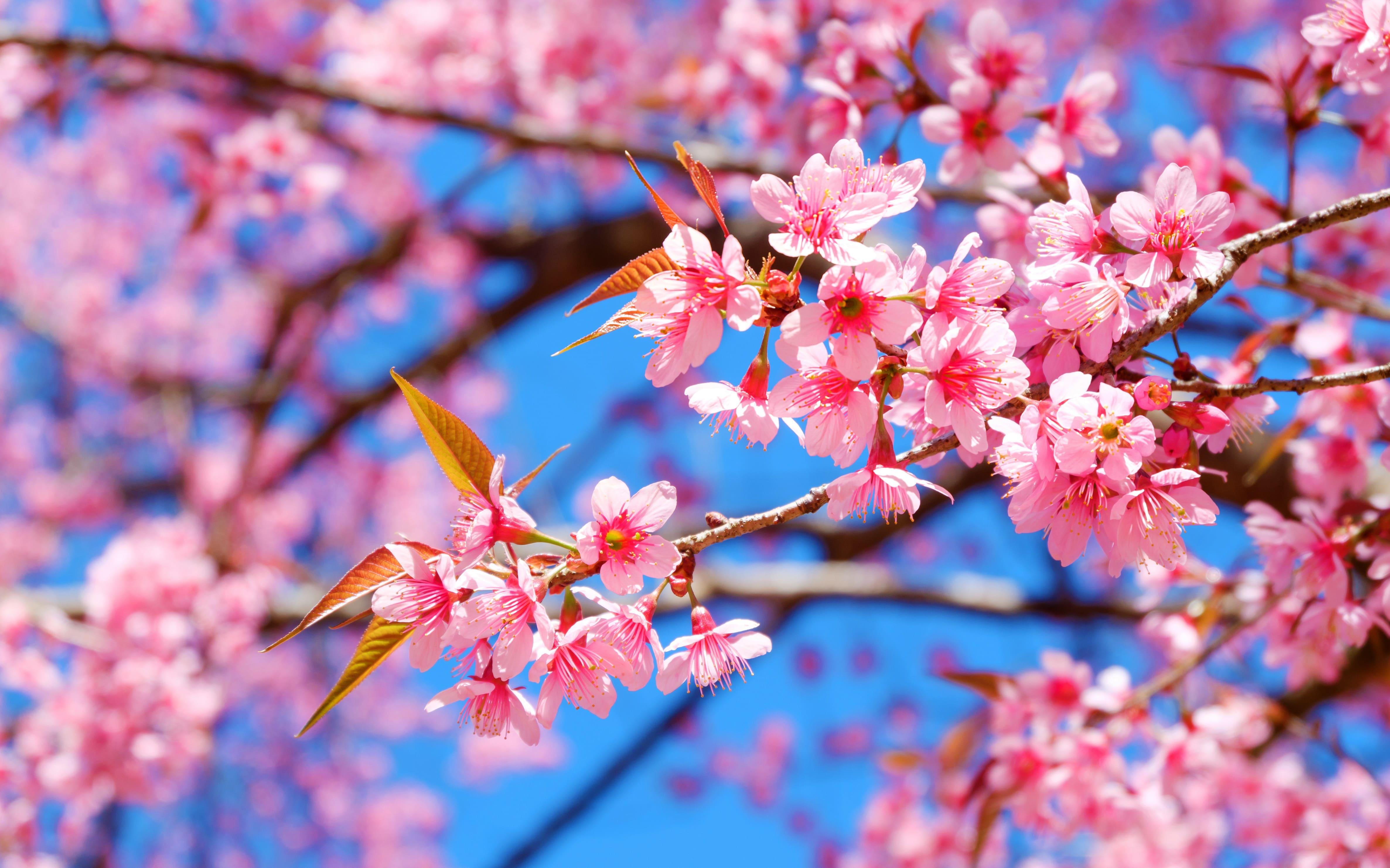 sakura-in-bloom-55