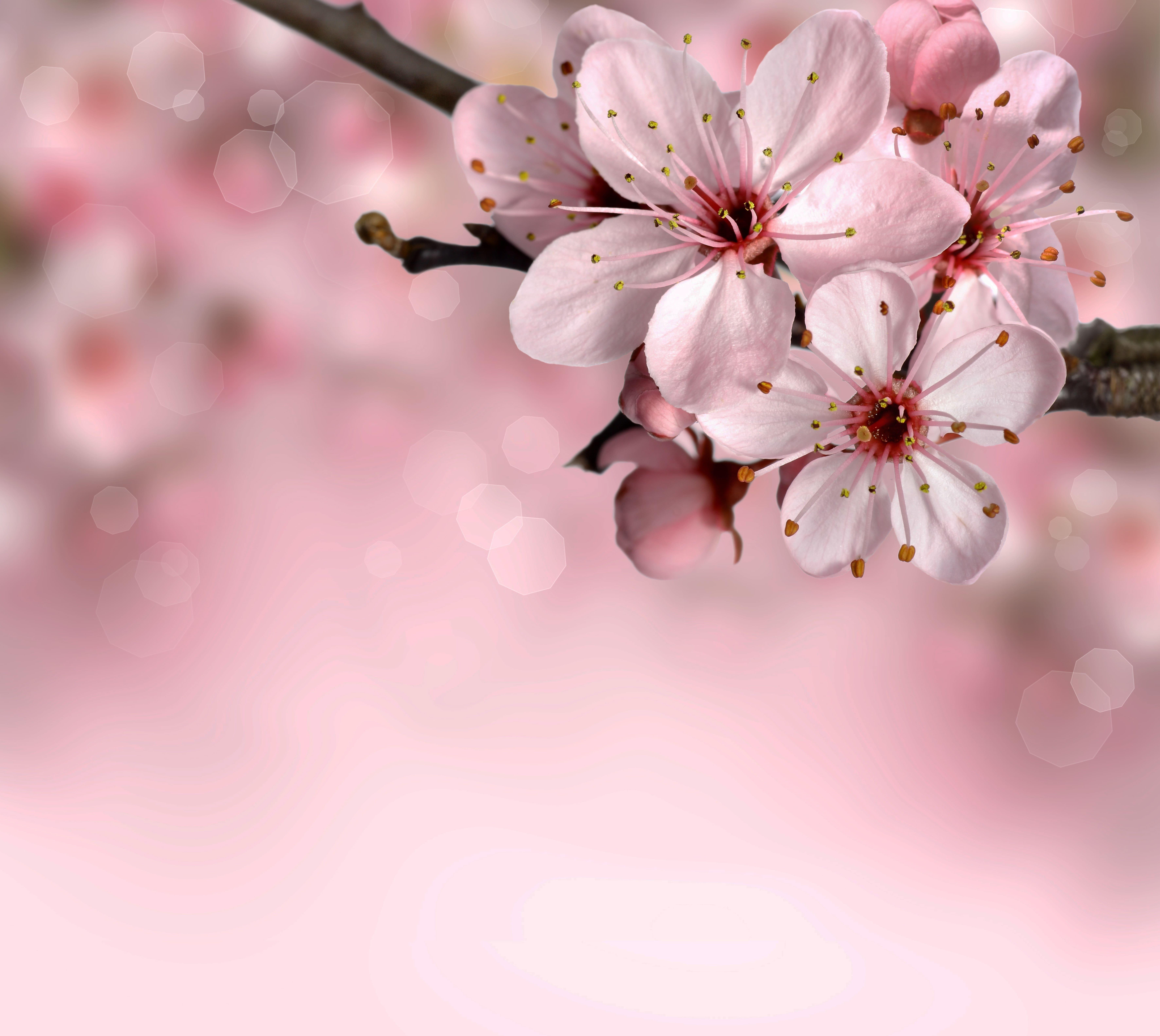 sakura-in-bloom-56