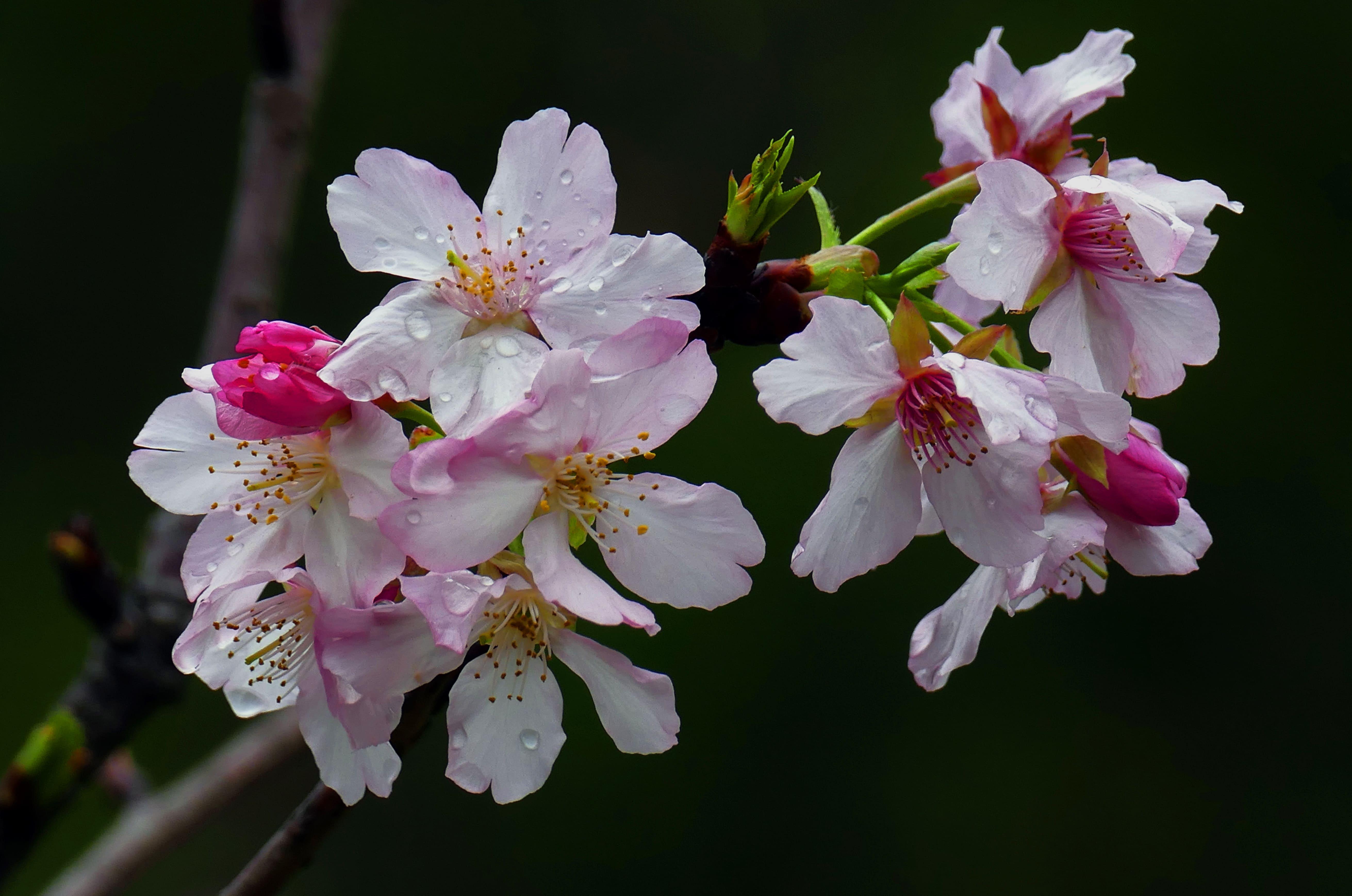 sakura-in-bloom-59