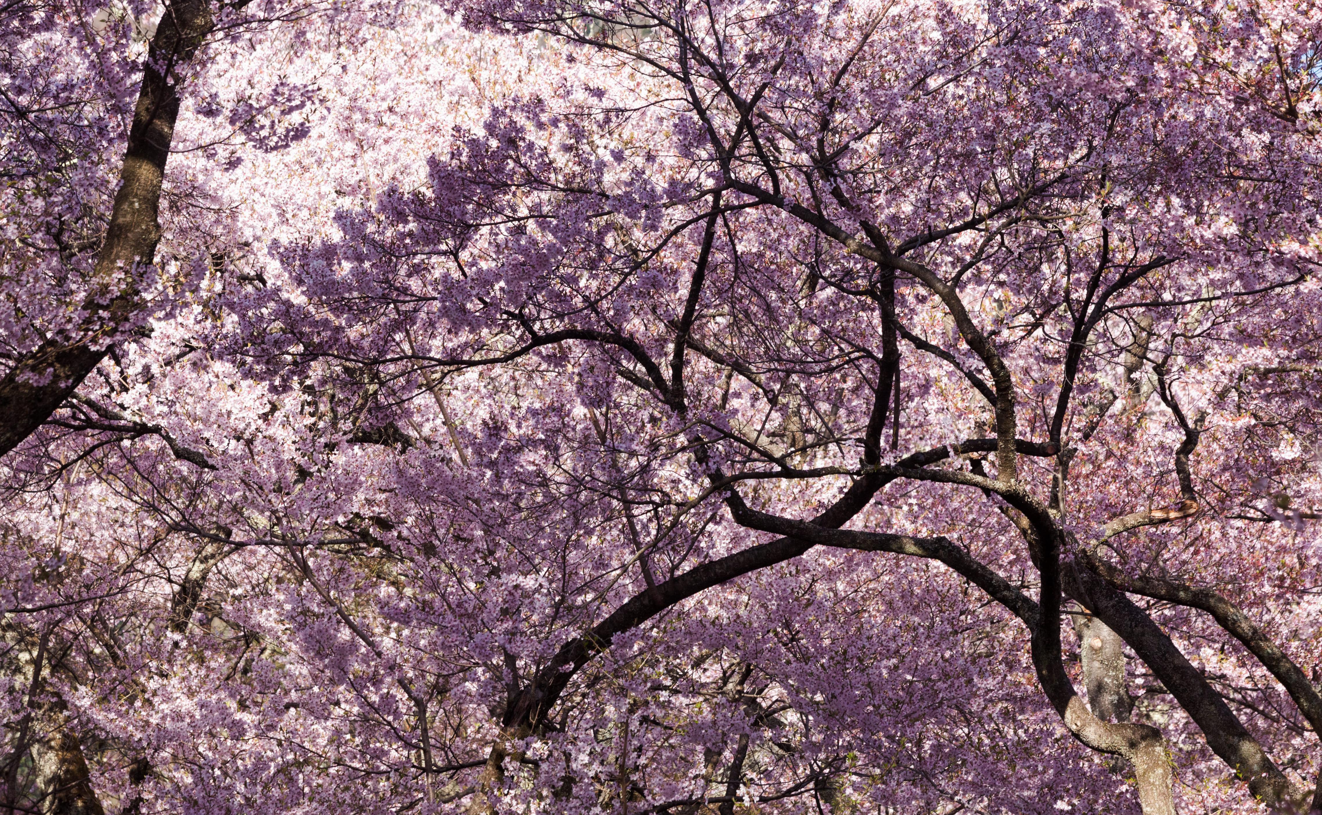 sakura-in-bloom-6