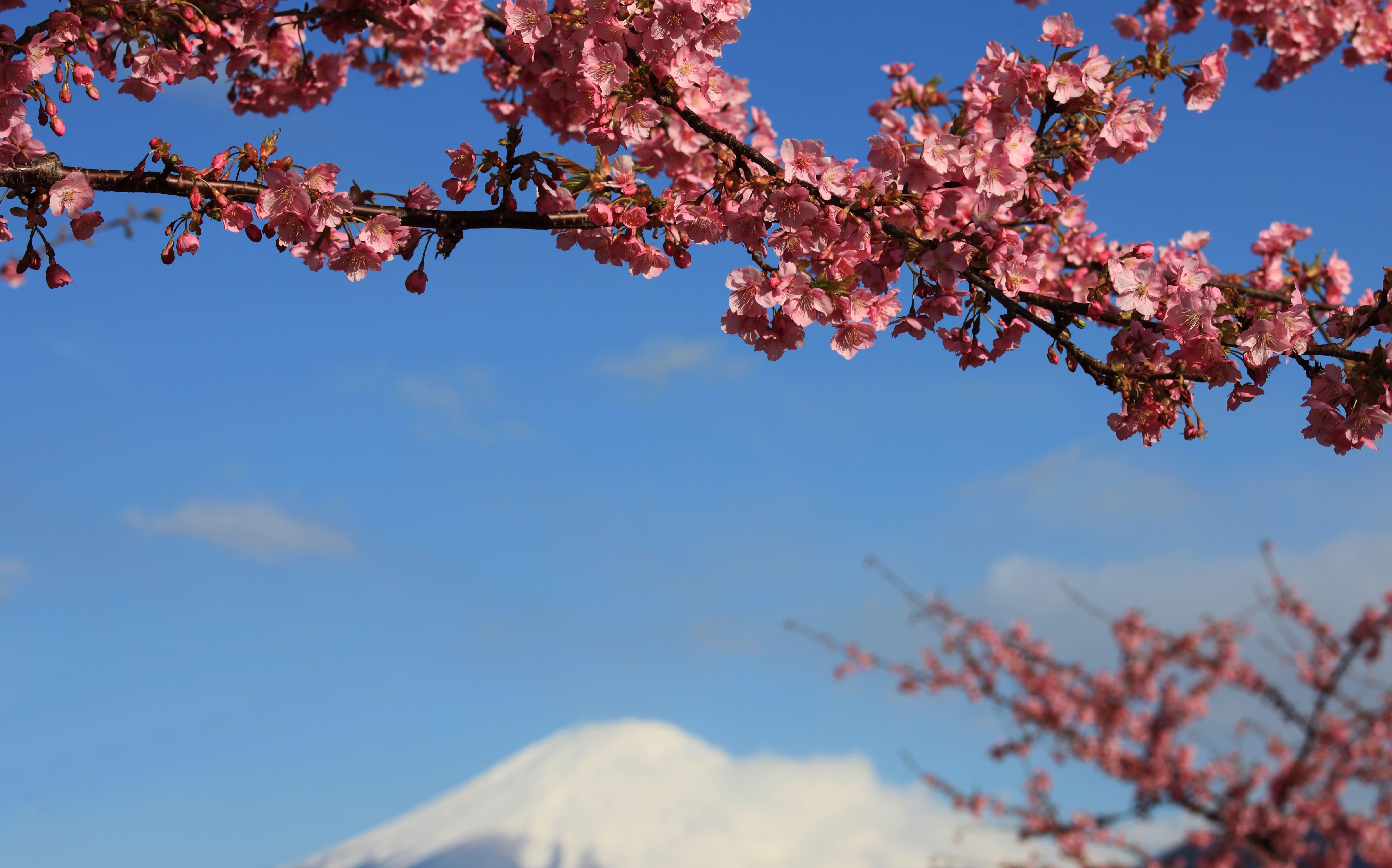 sakura-in-bloom-61