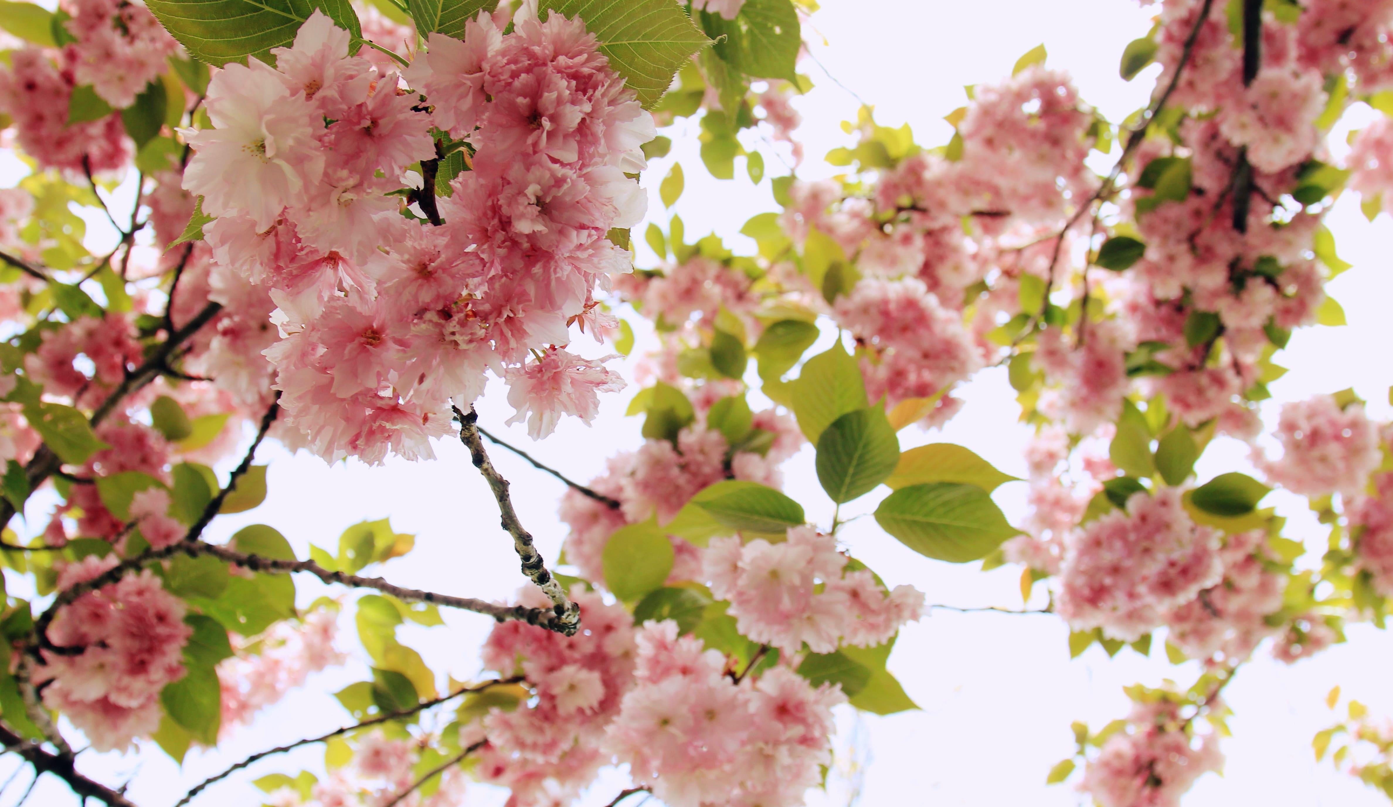 sakura-in-bloom-62