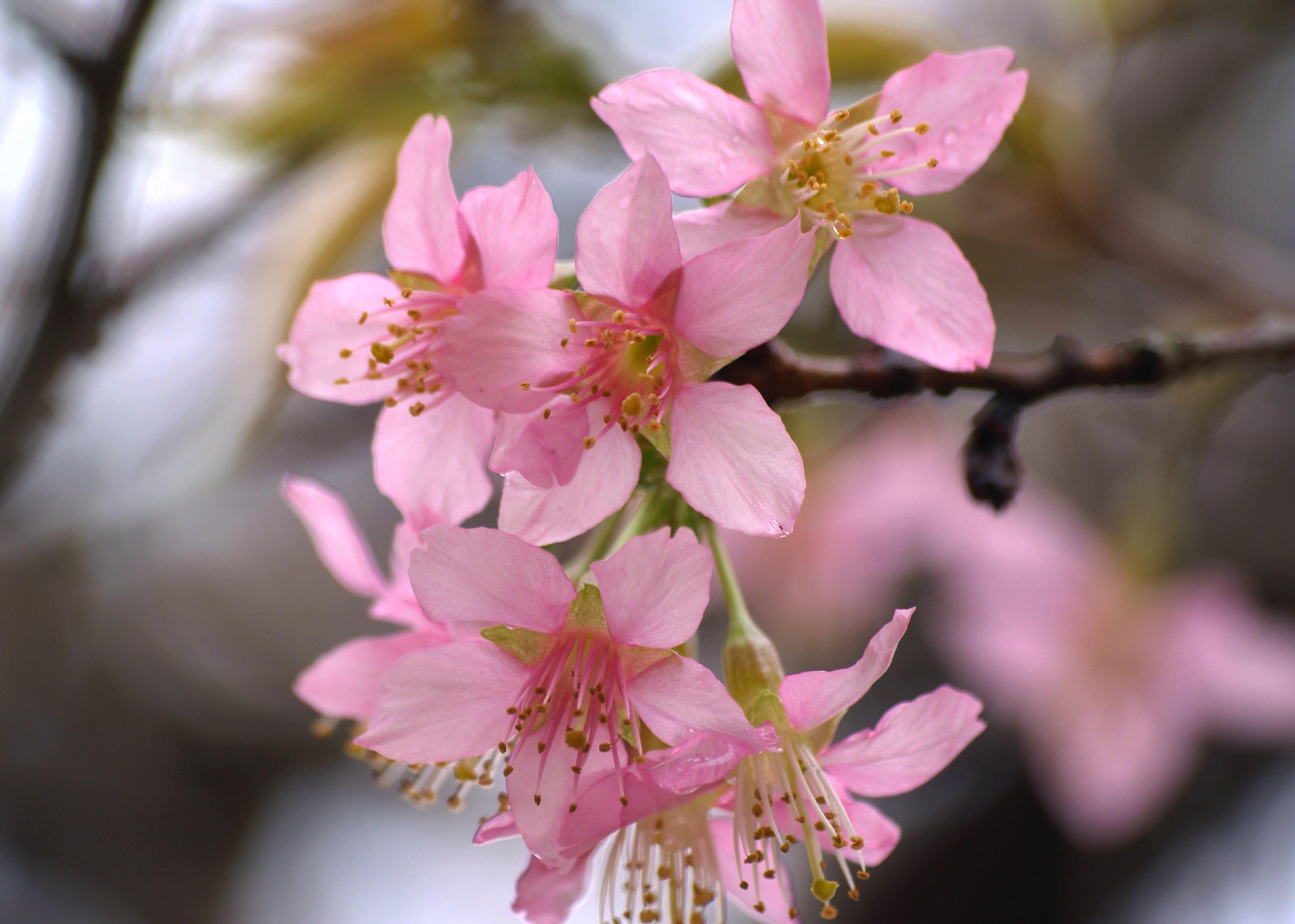 sakura-in-bloom-63