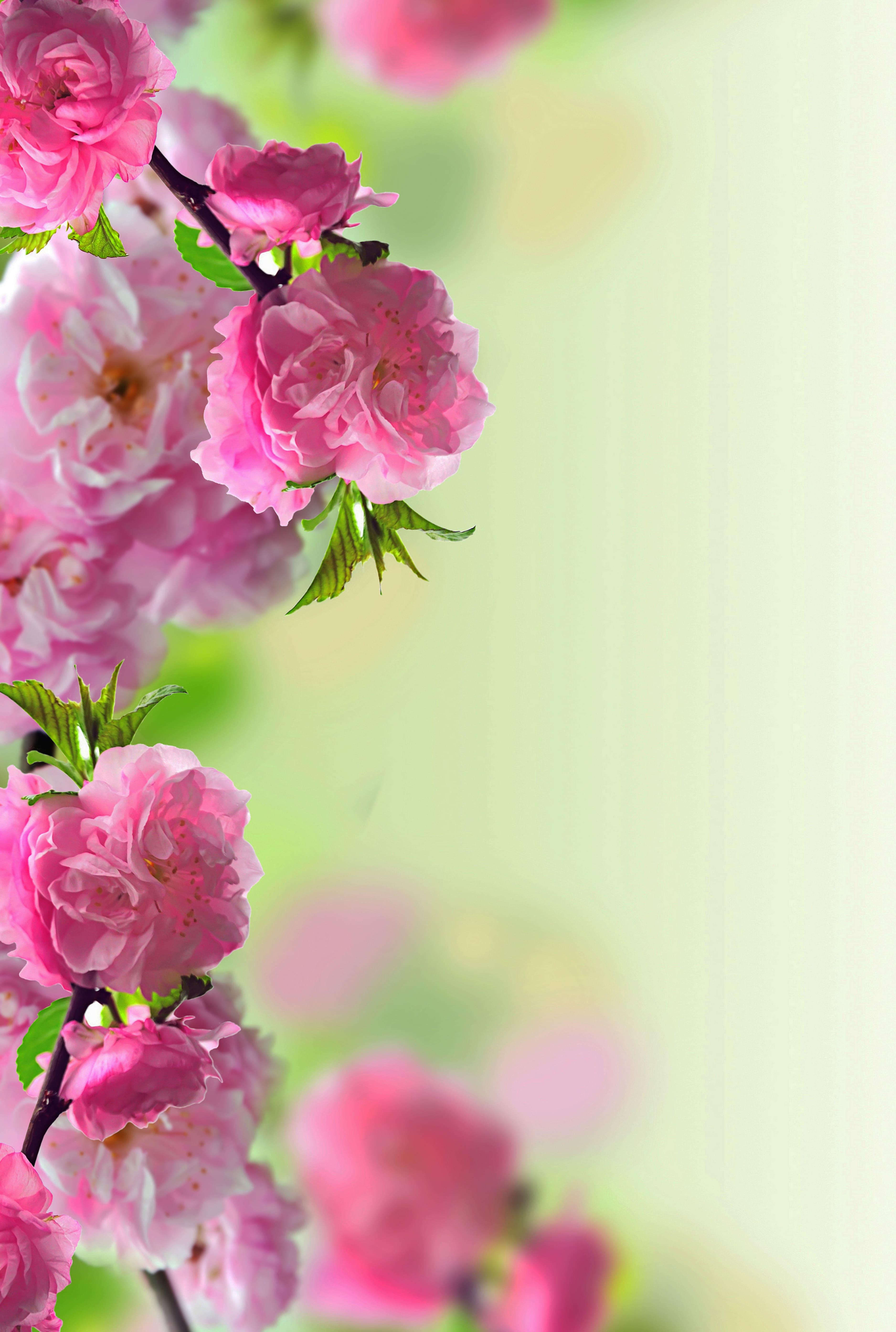 sakura-in-bloom-64