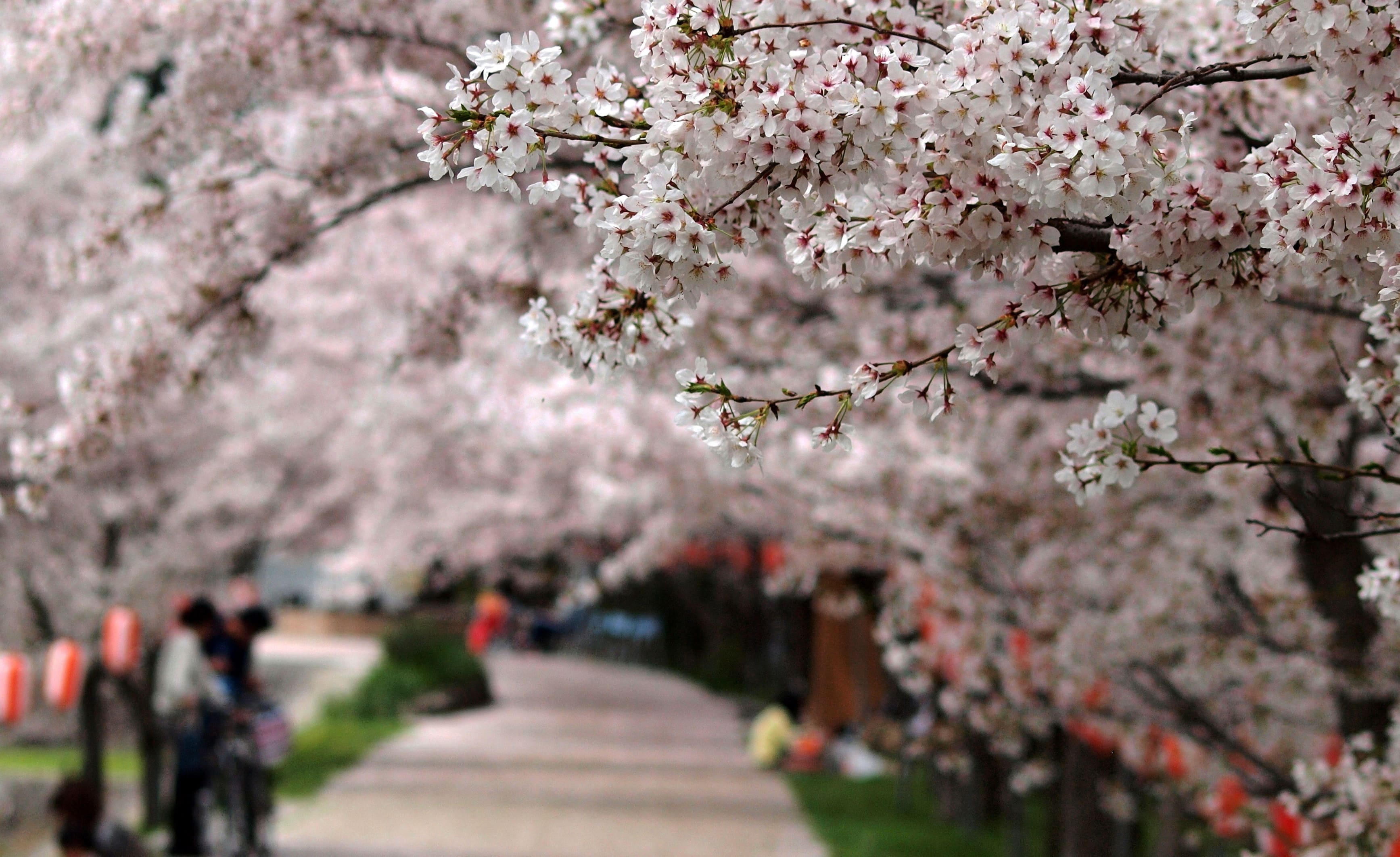 sakura-in-bloom-67