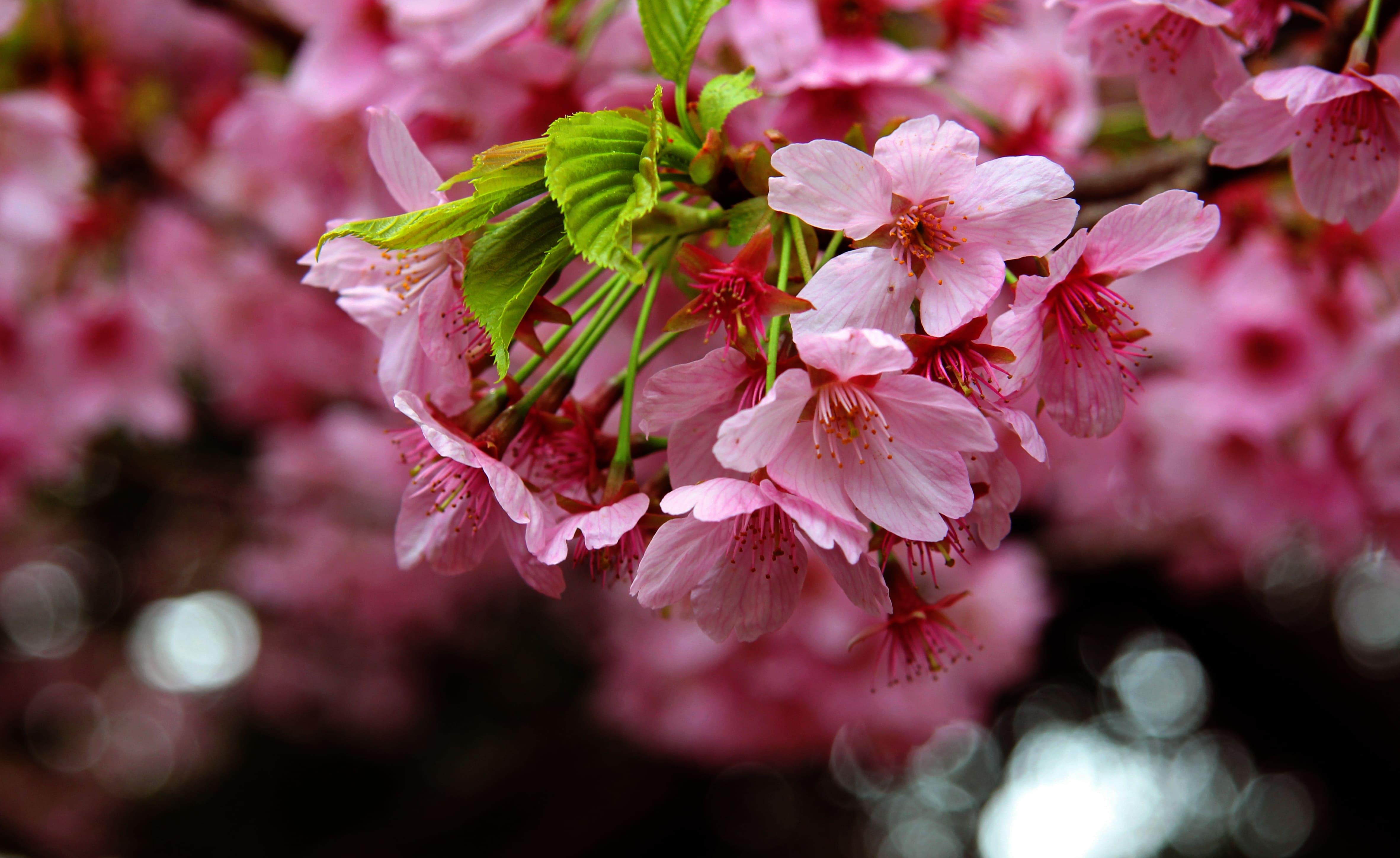 sakura-in-bloom-68