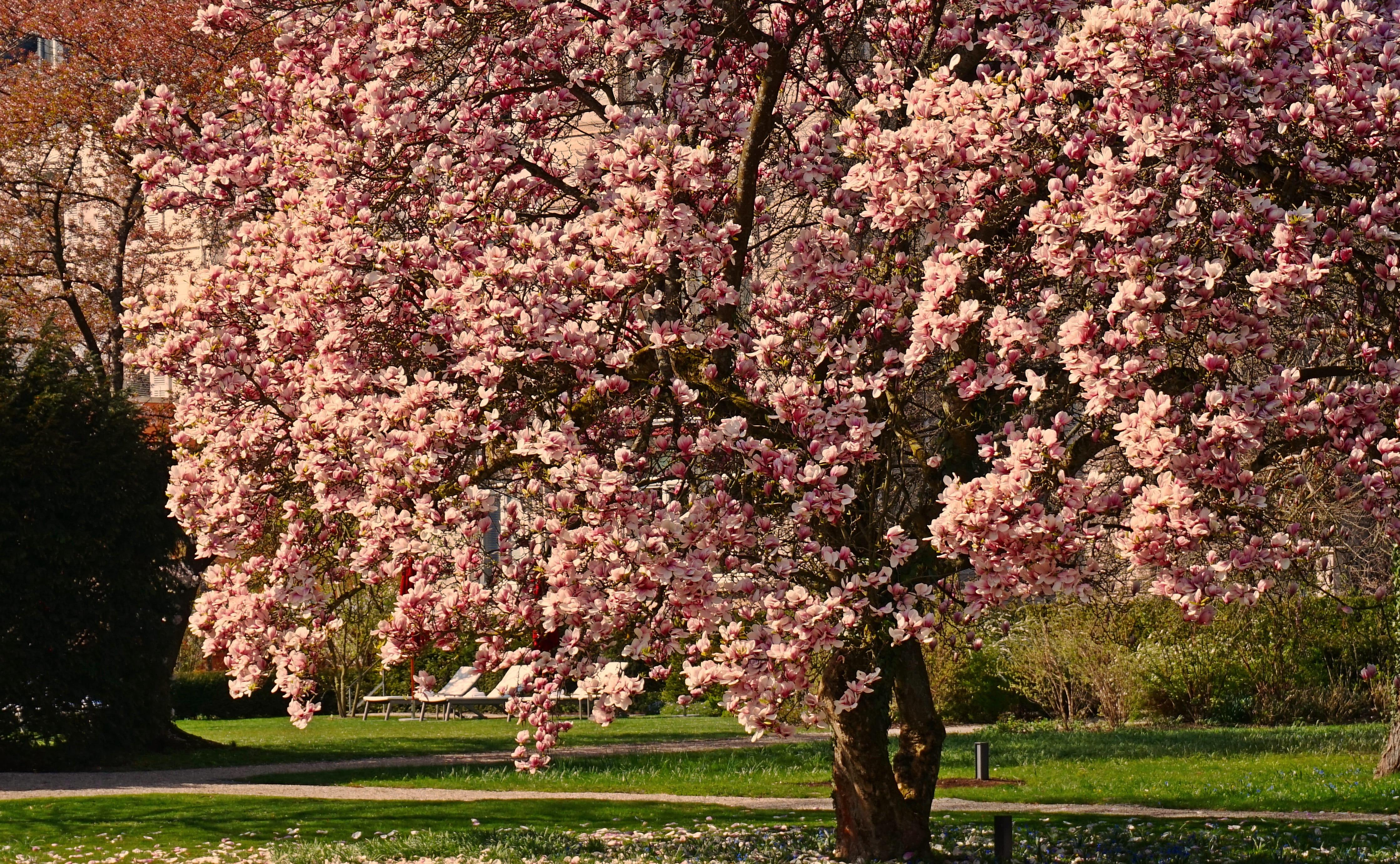 sakura-in-bloom-7