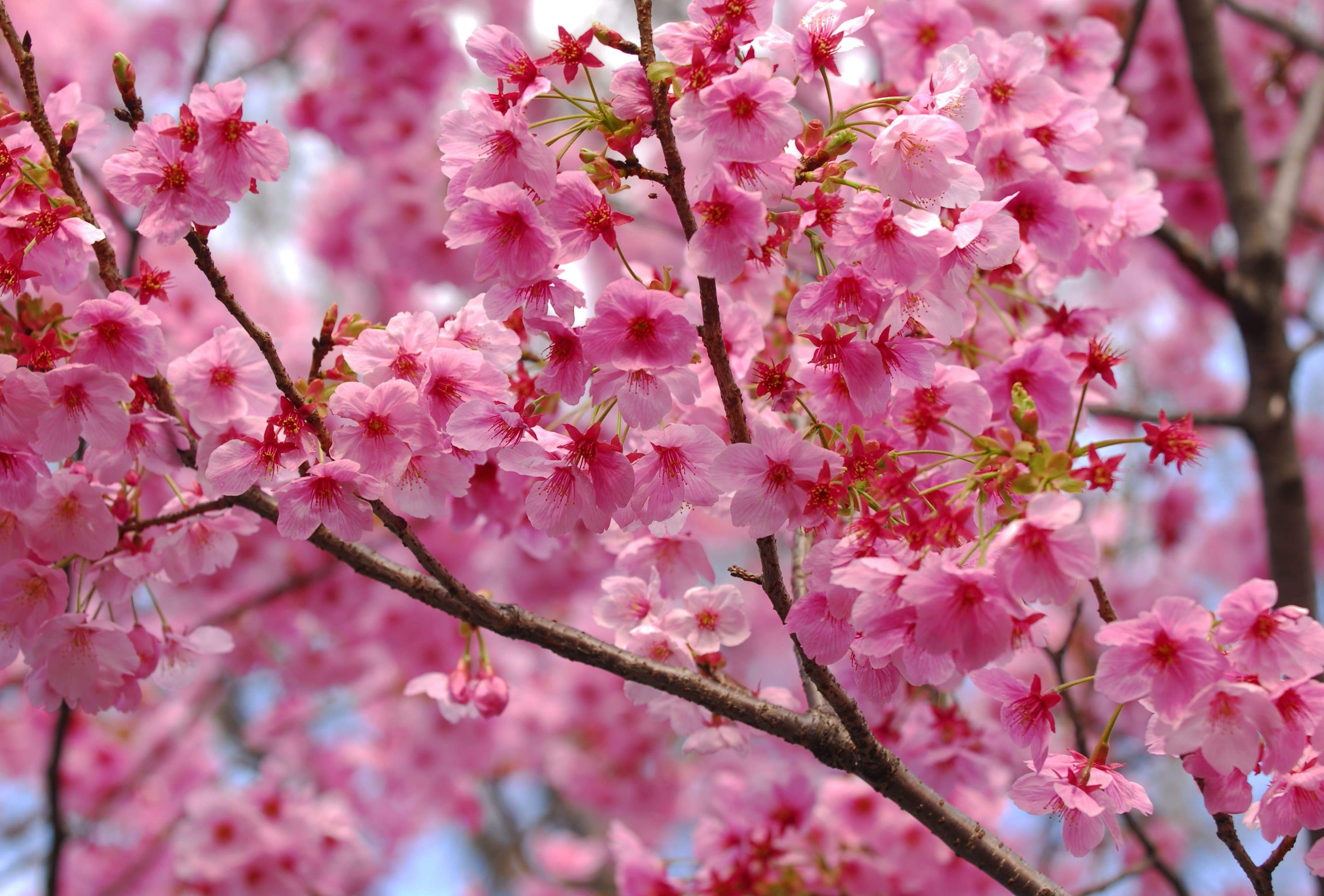 sakura-in-bloom-71