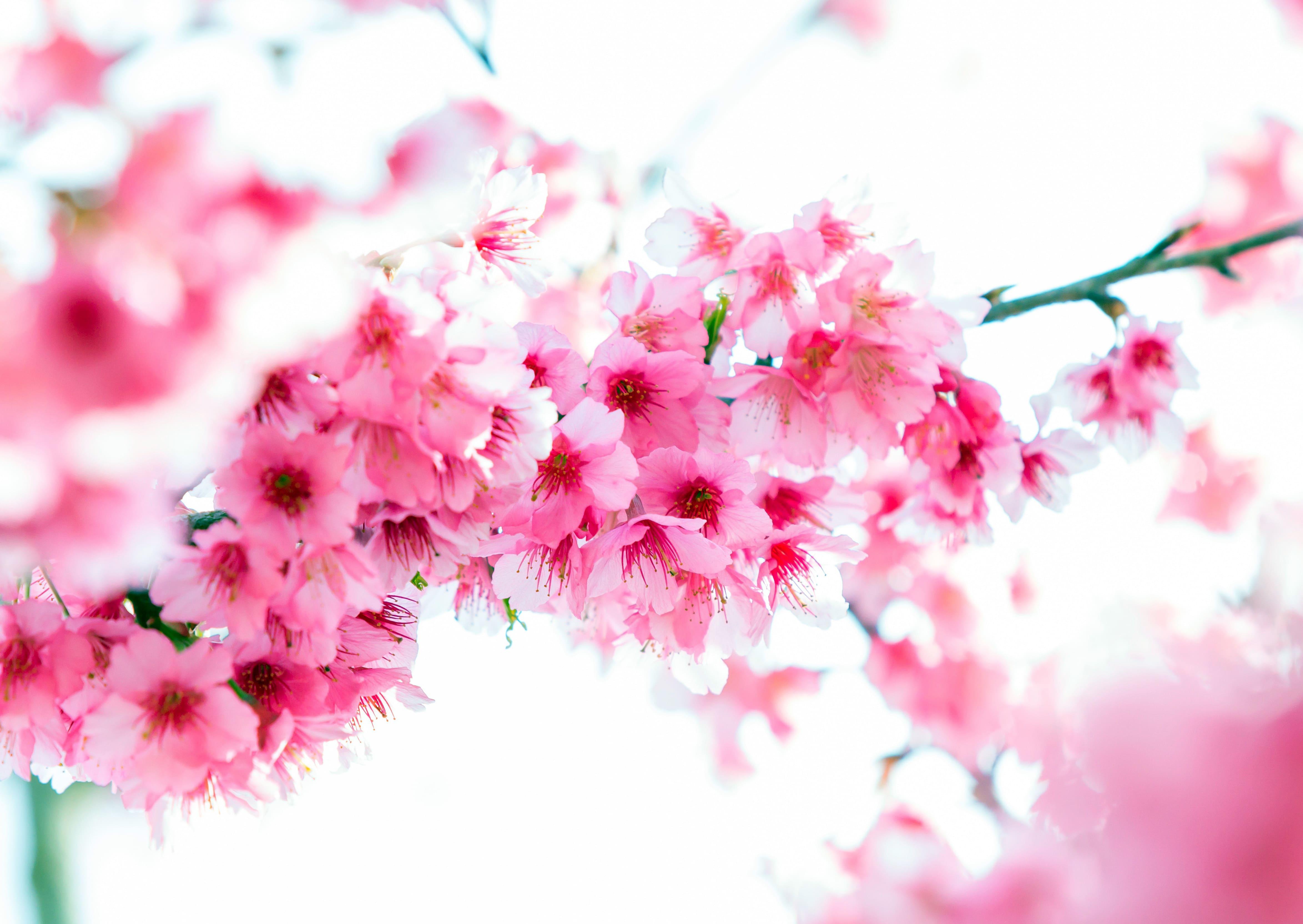 sakura-in-bloom-73