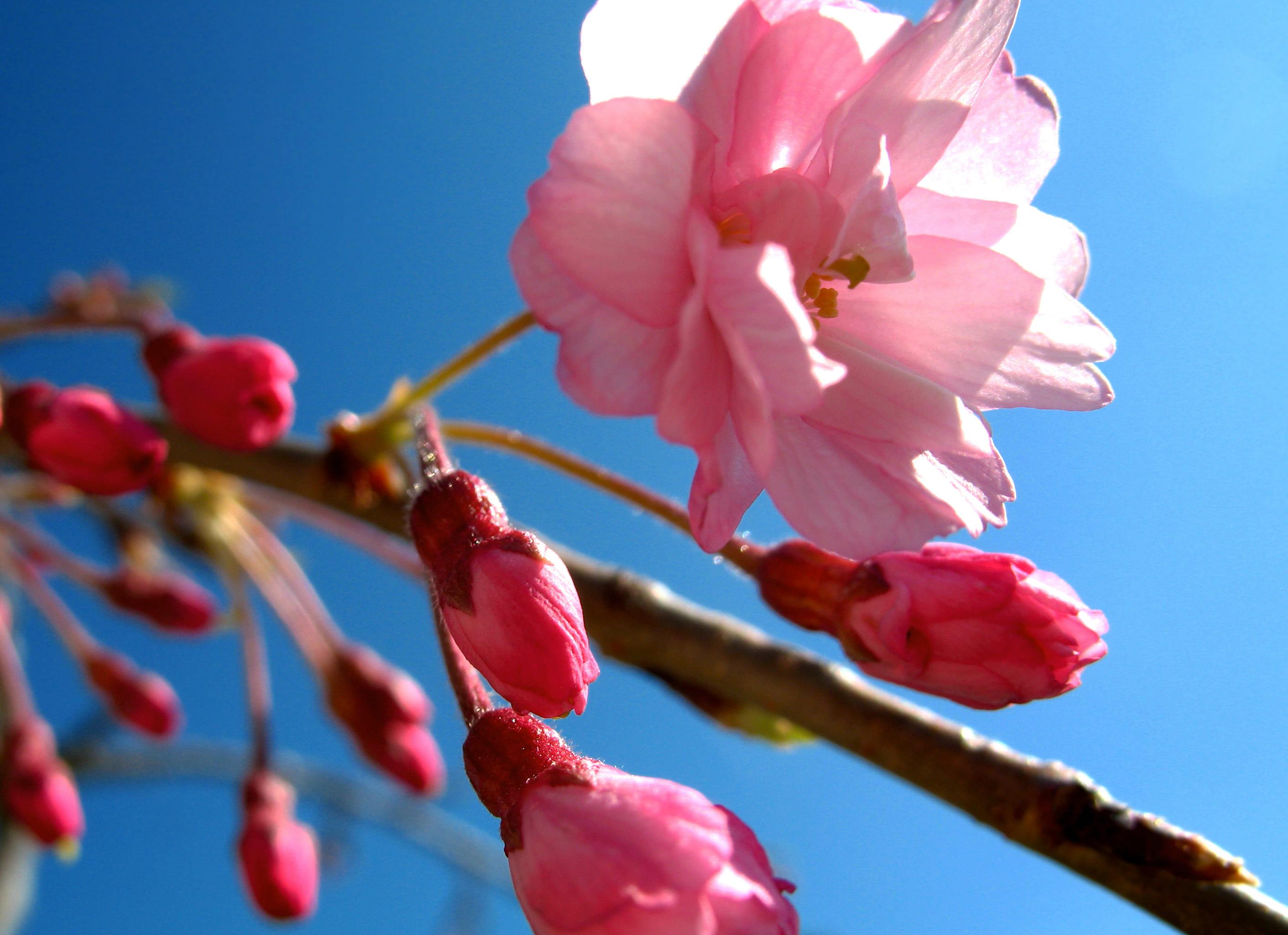 sakura-in-bloom-74